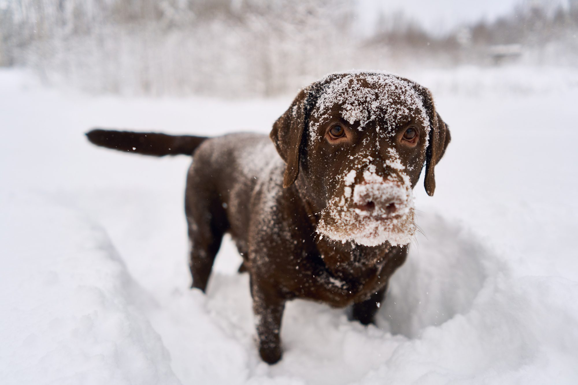 chocolate lab with his nose covered in snow