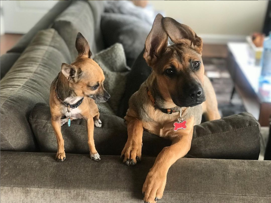 Chihuahua and German shepherd duo form an unlikely pair