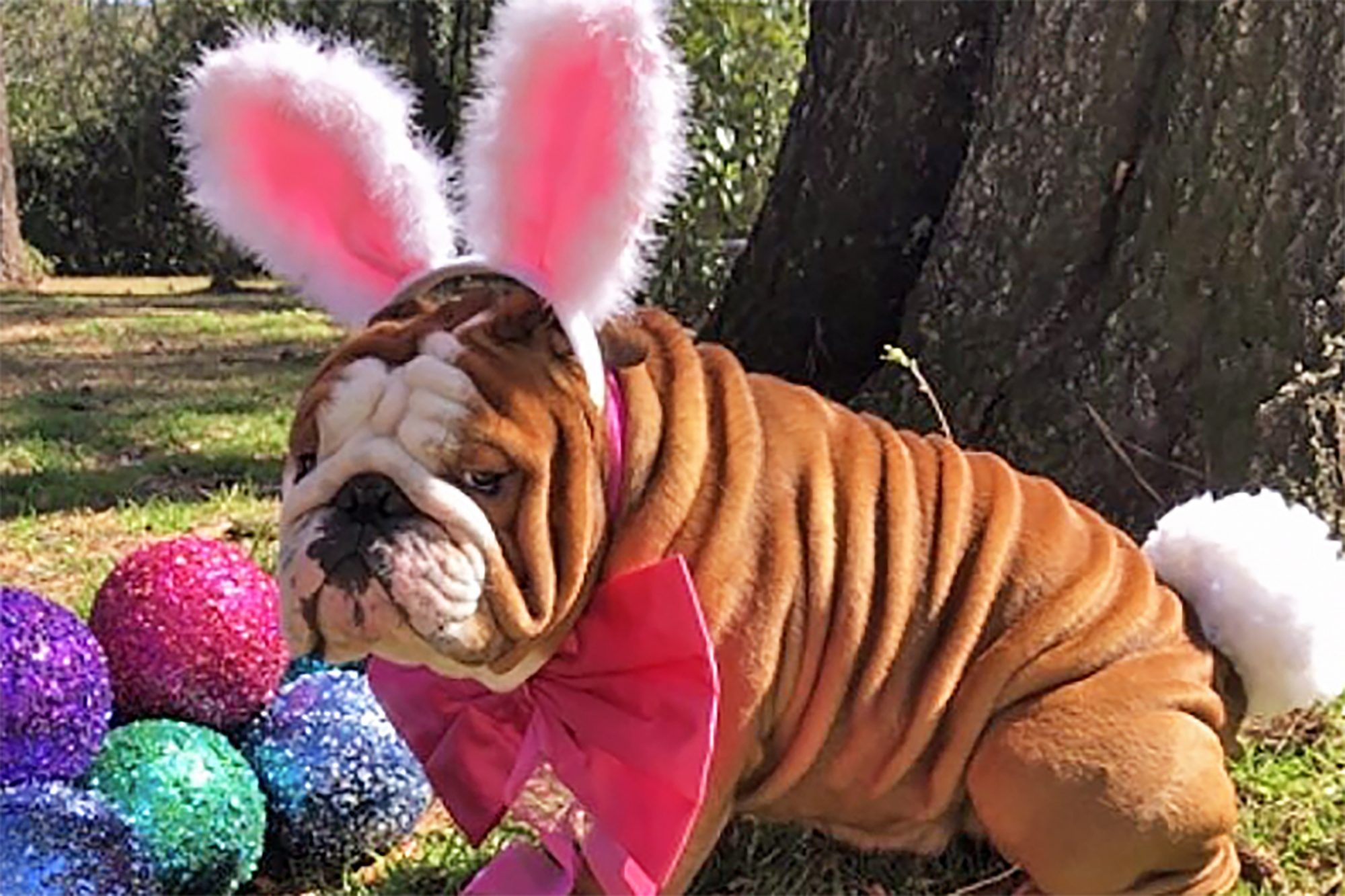 Bulldog decorated with easter bunny decorations