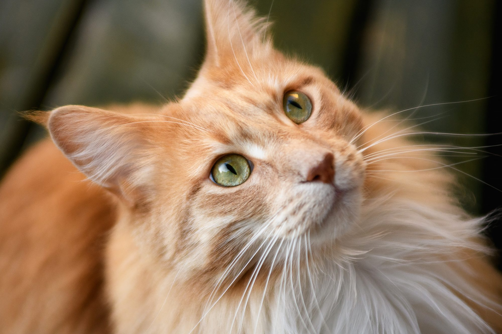 Portrait of a ginger Maine coon cat looking up