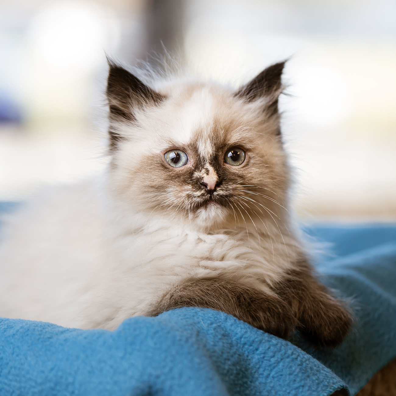 Fluffy cat sits on blue blanket