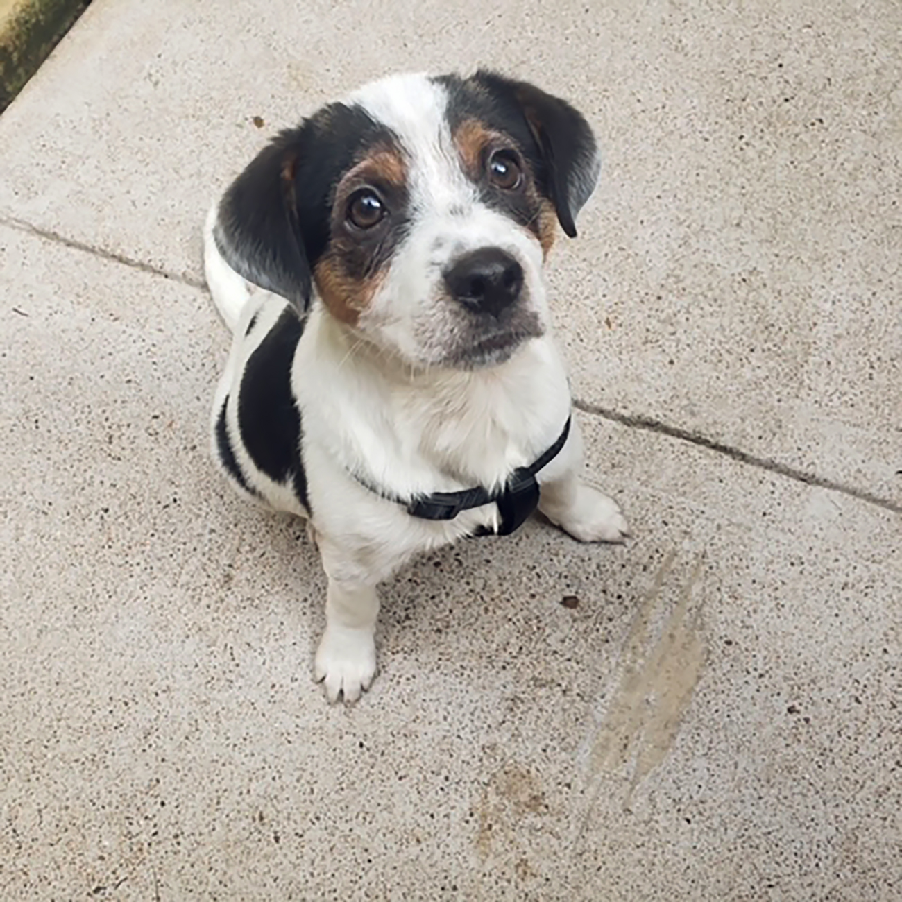 Spotted puppy looks up at camera from sidewalk