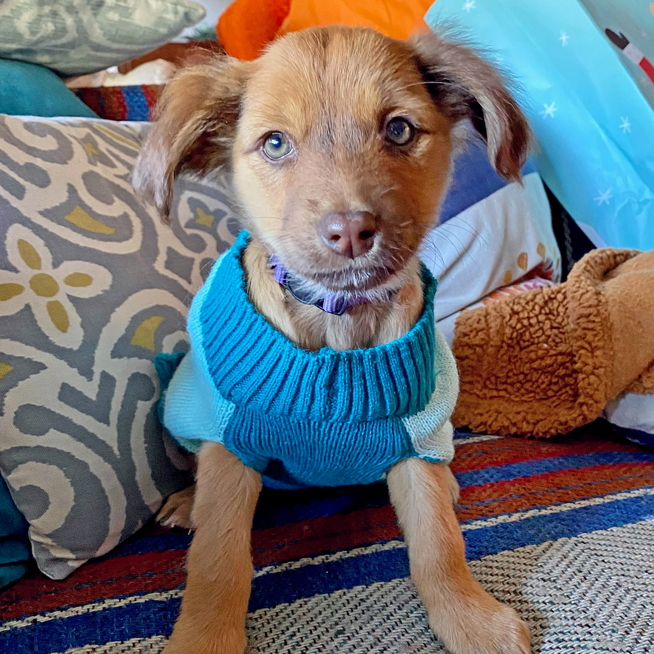 Puppy sits in blue dog sweater