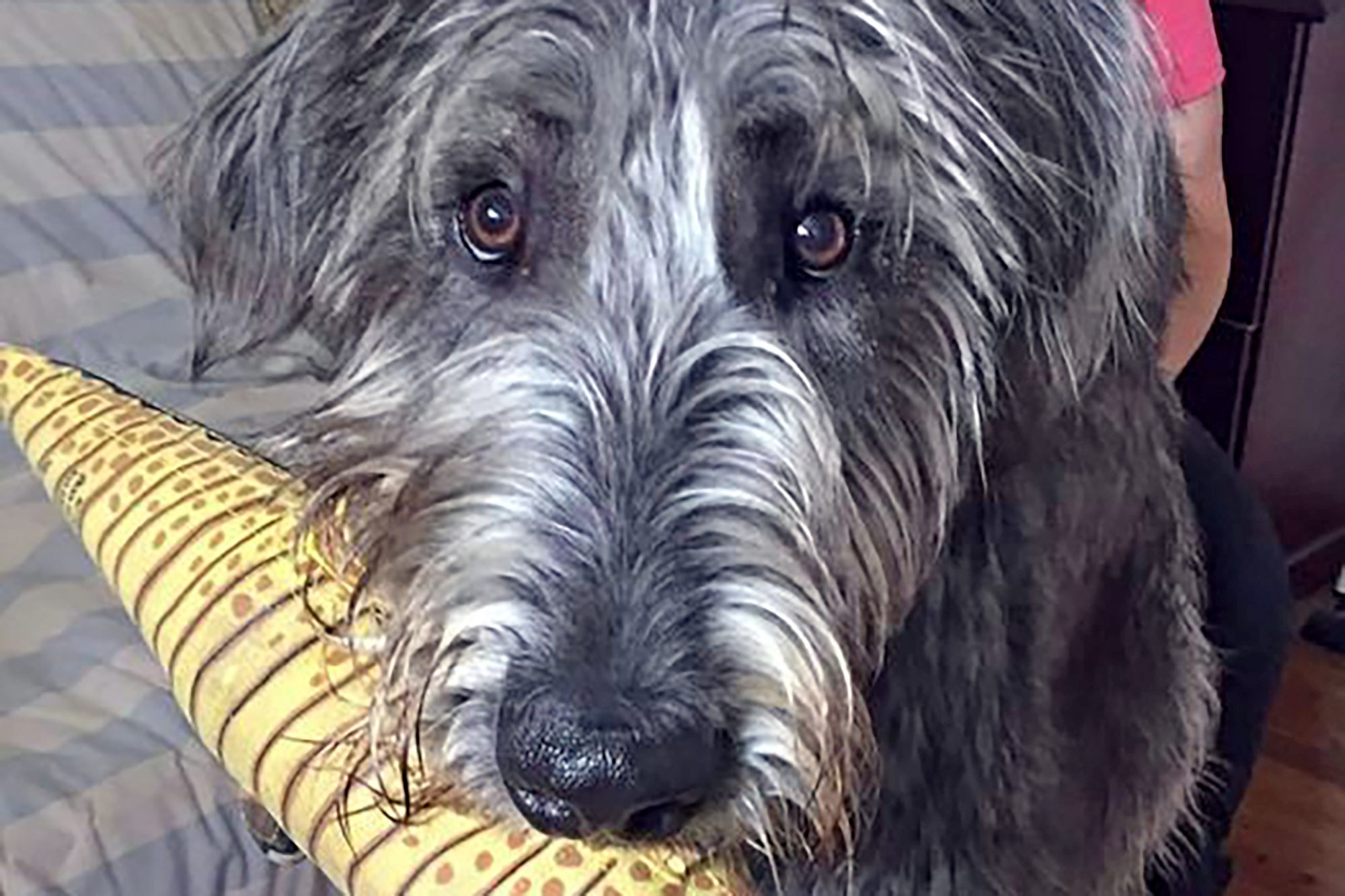 close up of Fergus the Irish Wolfhound