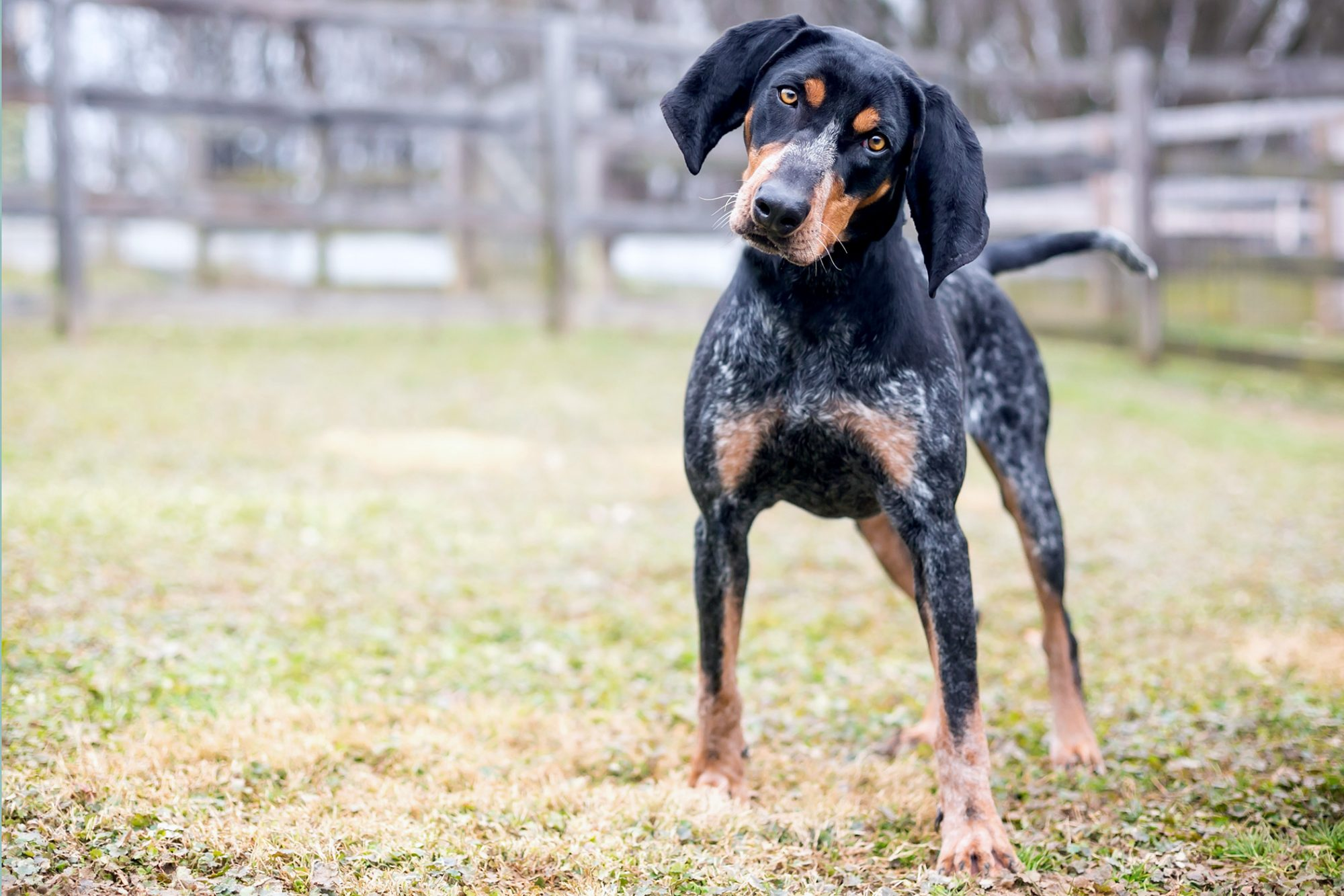 Bluetick Coonhound outdoors