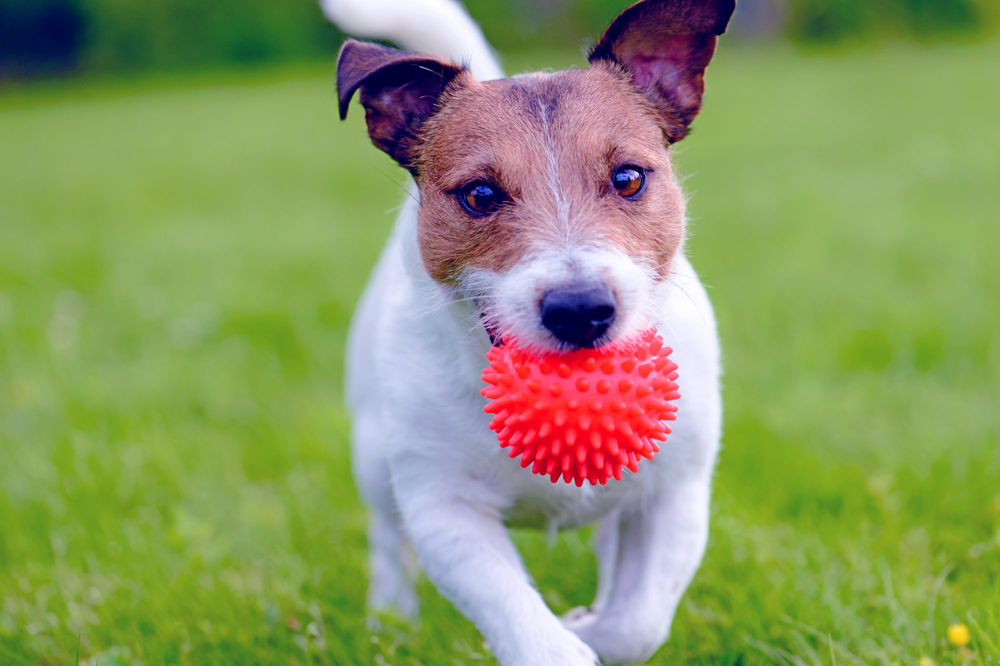 Jack Russell Terrier running with read ball