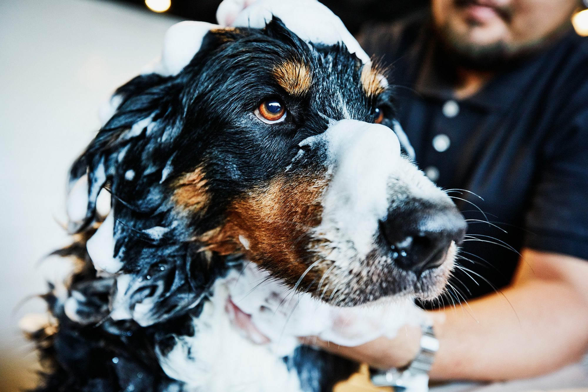 Black and brown spotted dog gets a bath