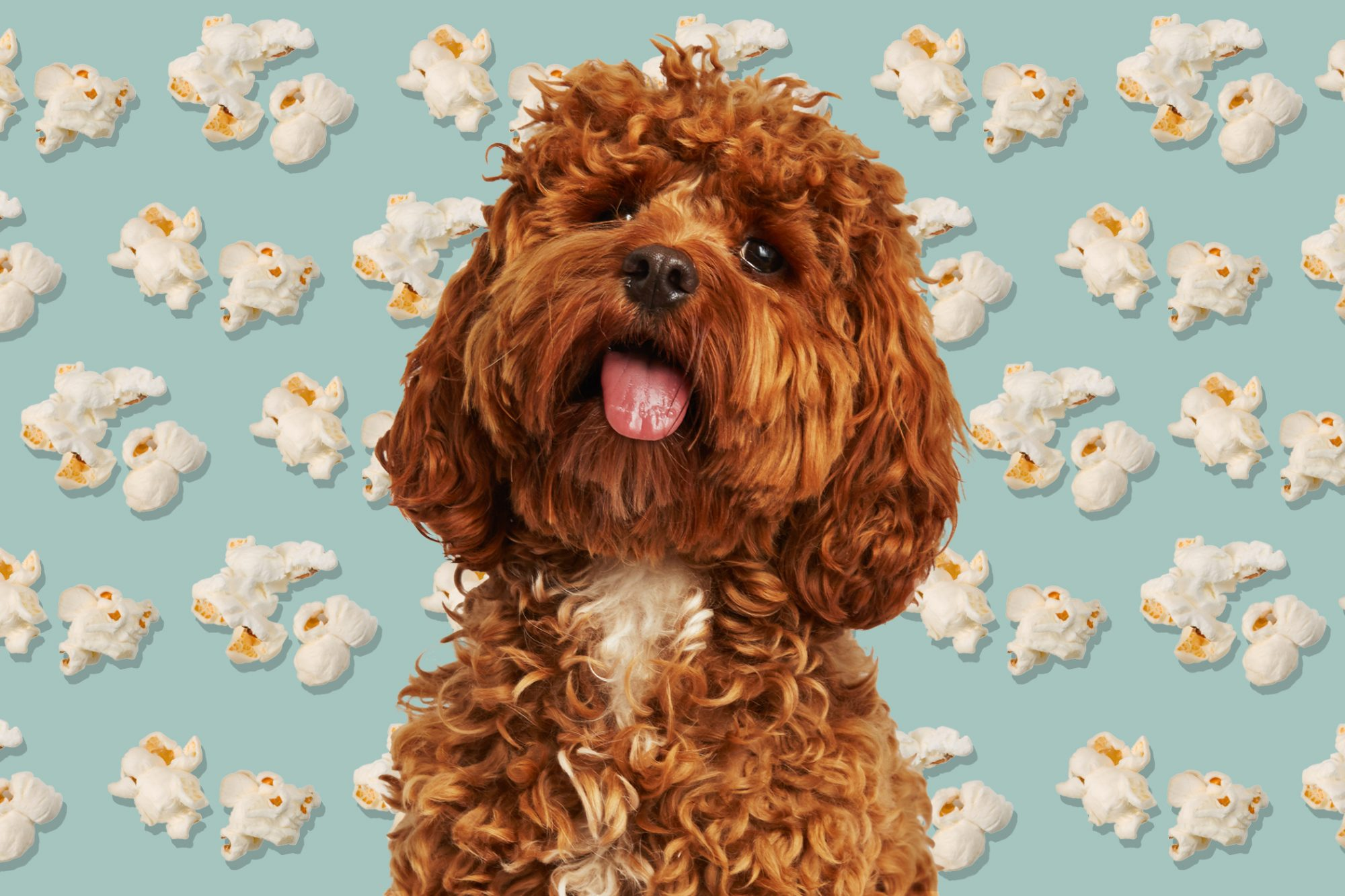 Fluffy cockapoo in front of illustrated popcorn background
