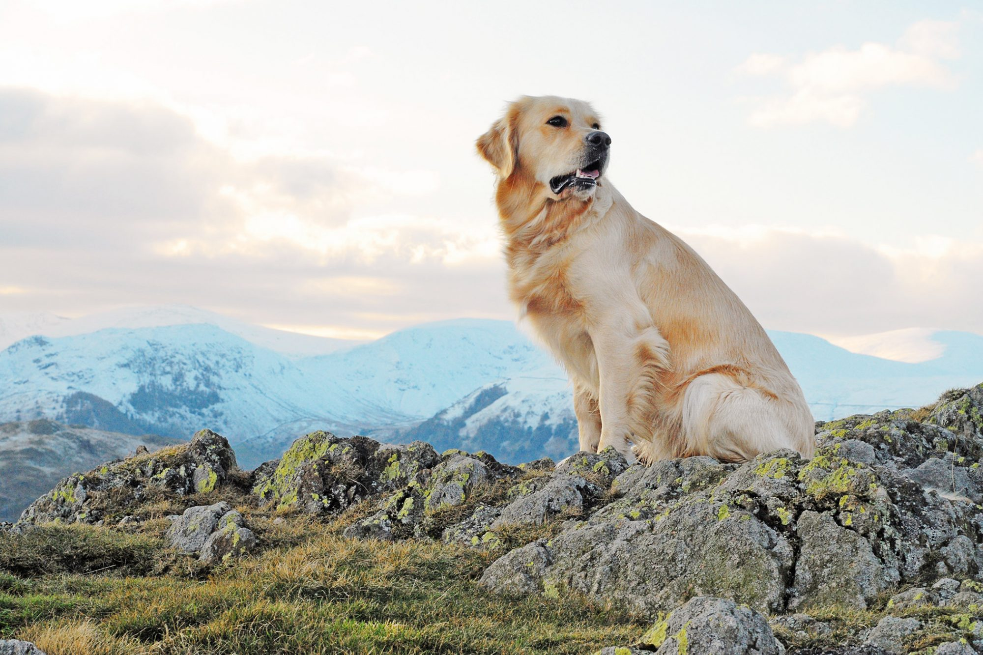 Golden retriever sits on rocky hilltop