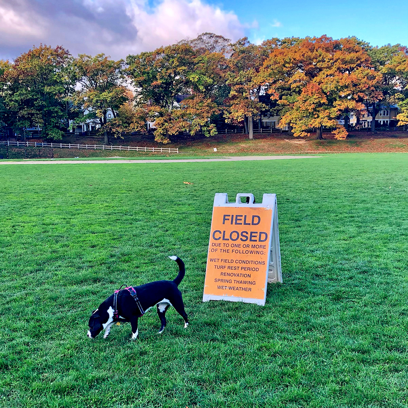 Black and white pup explores closed soccer field
