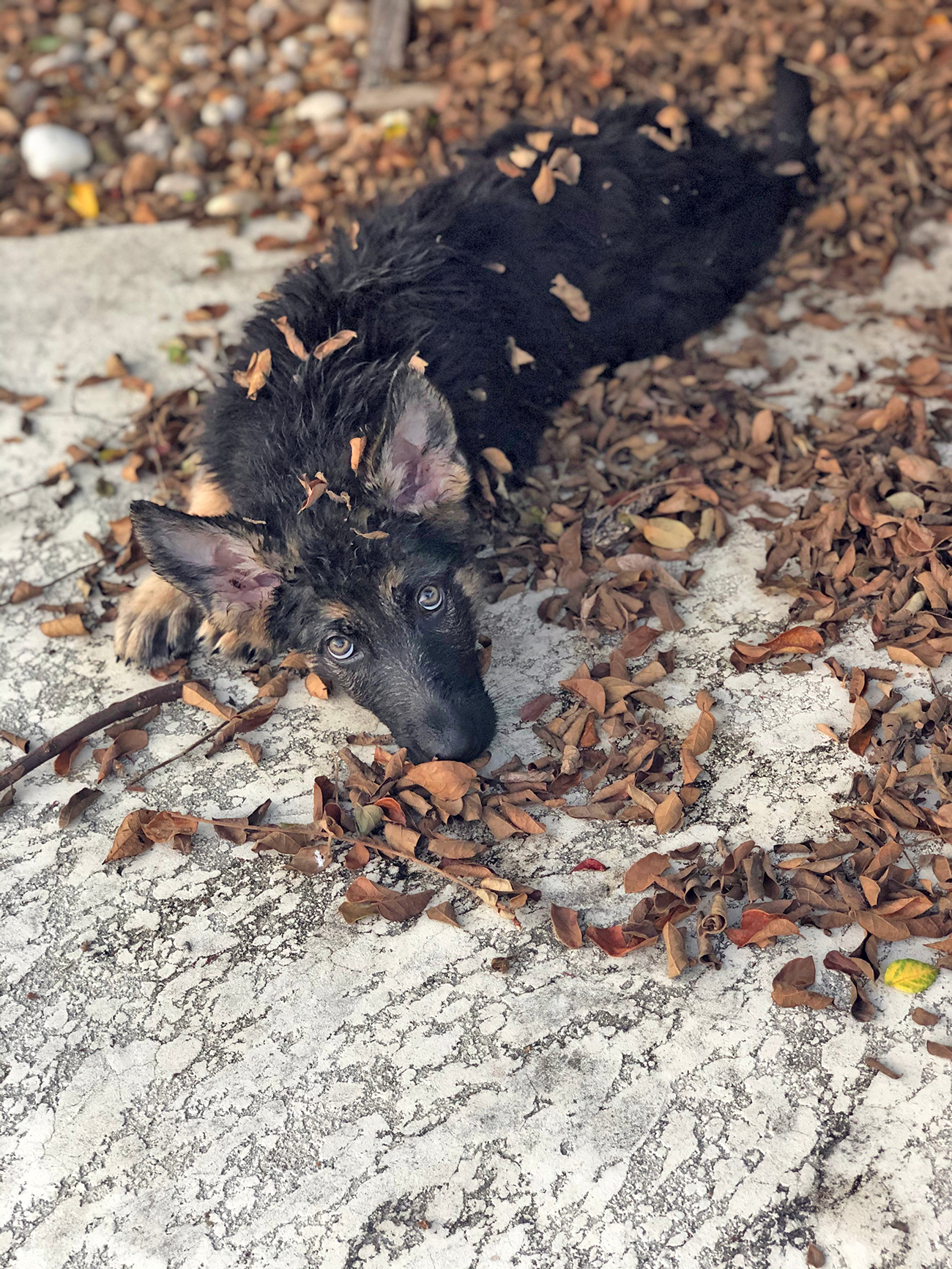 Shepherd puppy lays down covered in leaves