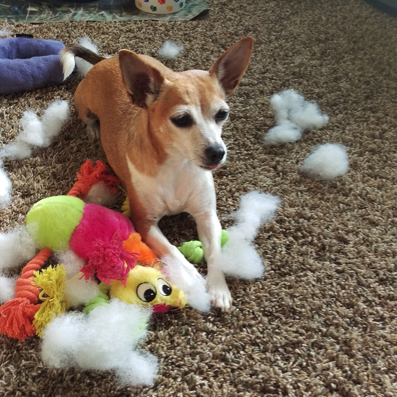 Small dog lays on carpet surrounded by torn up dog toys and their fluff