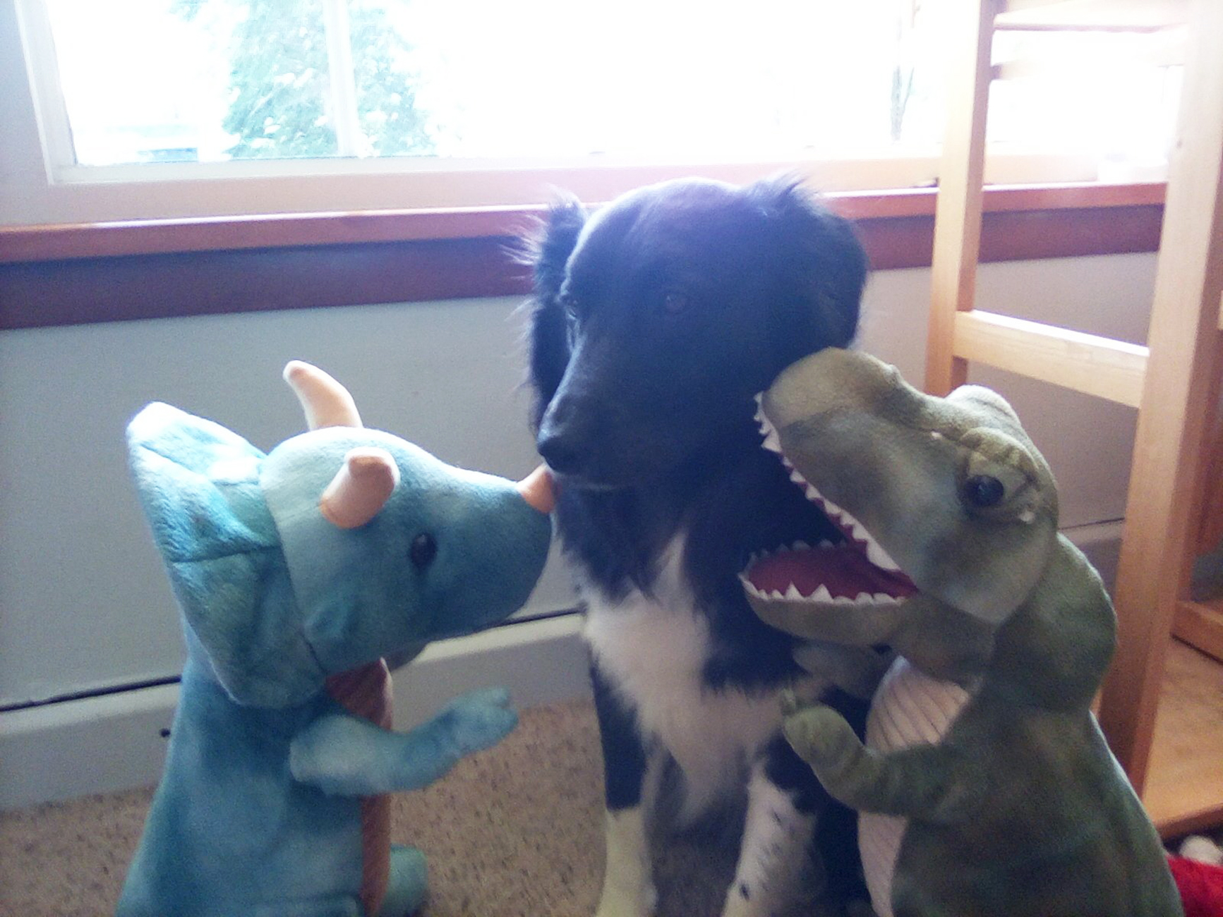 Fluffy black and white dog pictured sitting in between two dinosaur stuffed animals