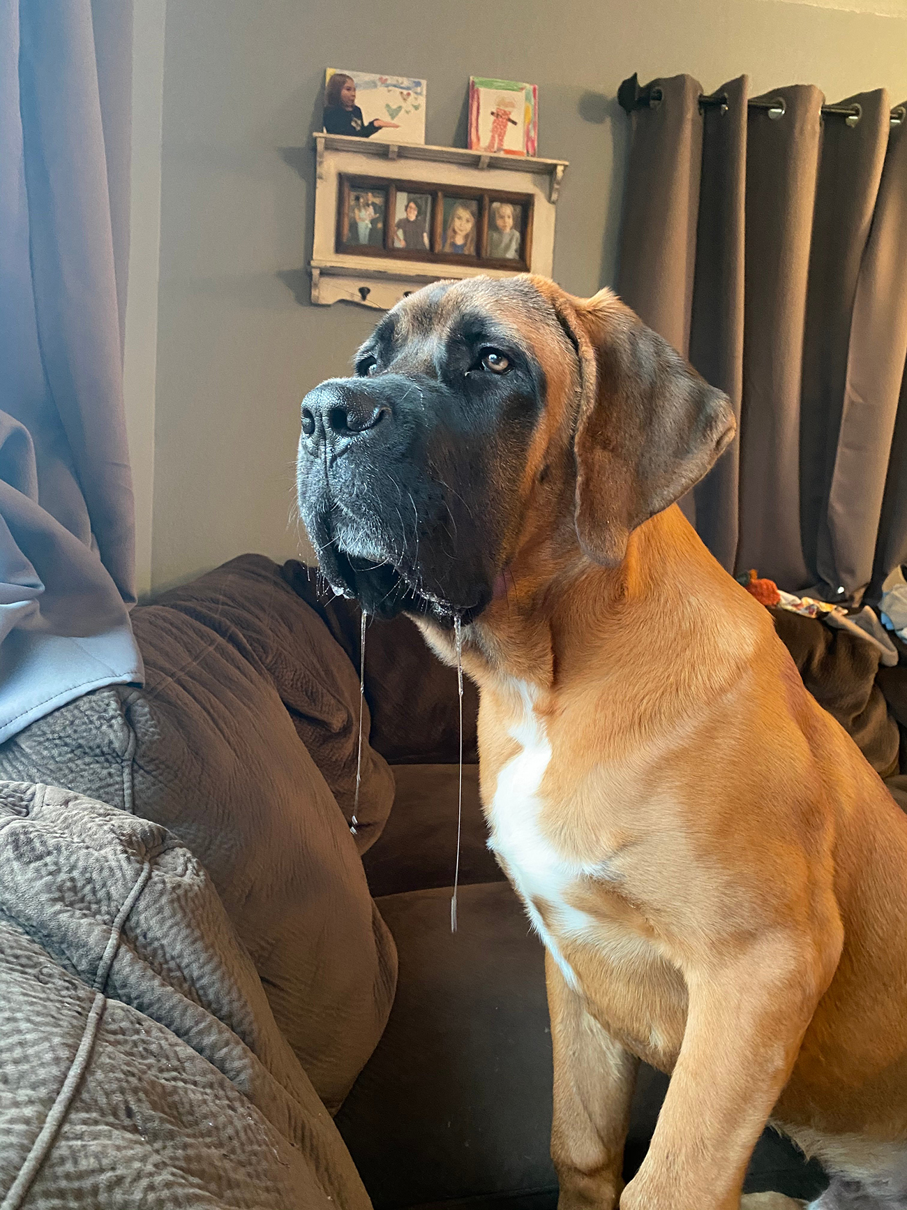 Large dog sits on couch and drools