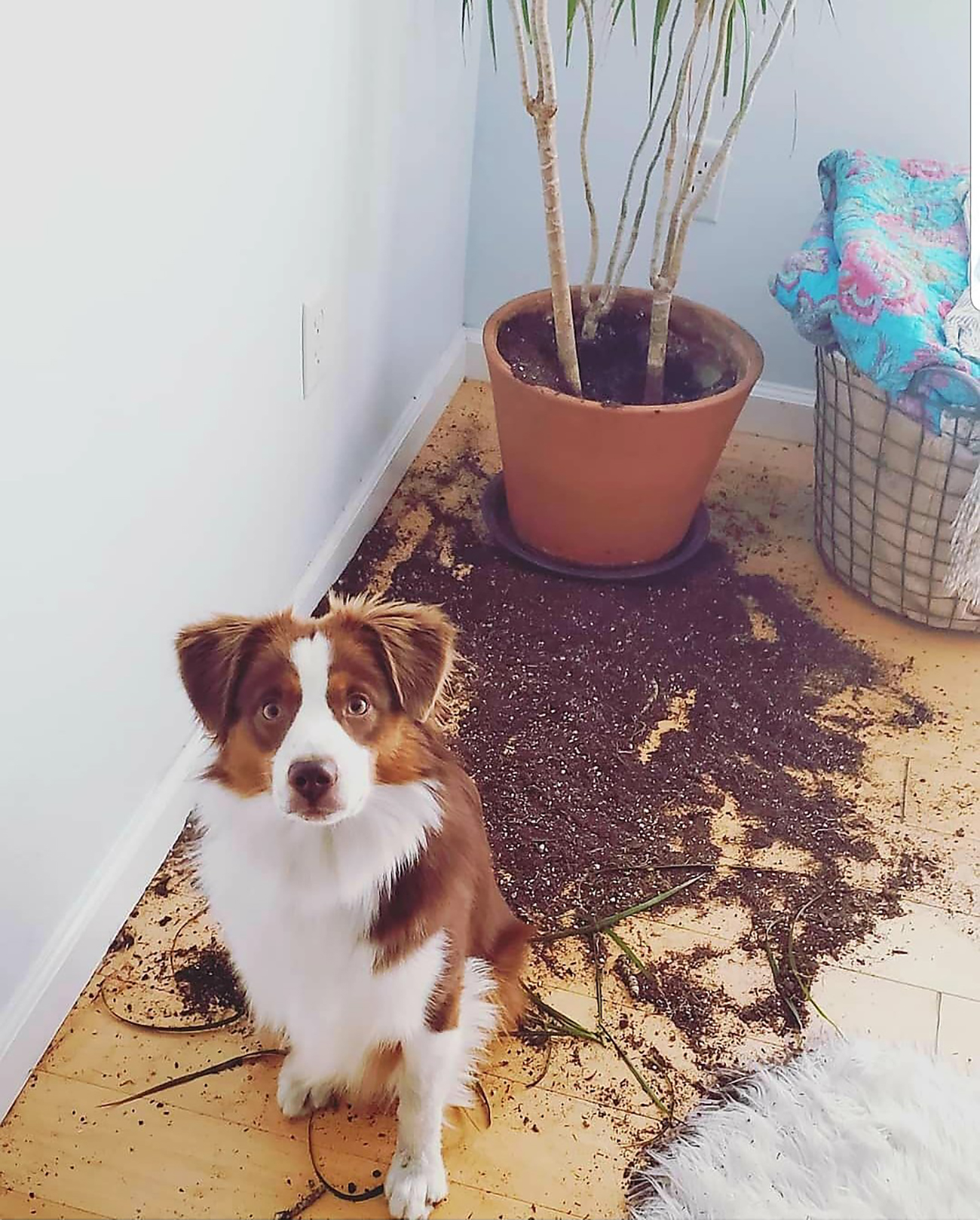 dog looks up at camera while sitting in front of destroyed house plant
