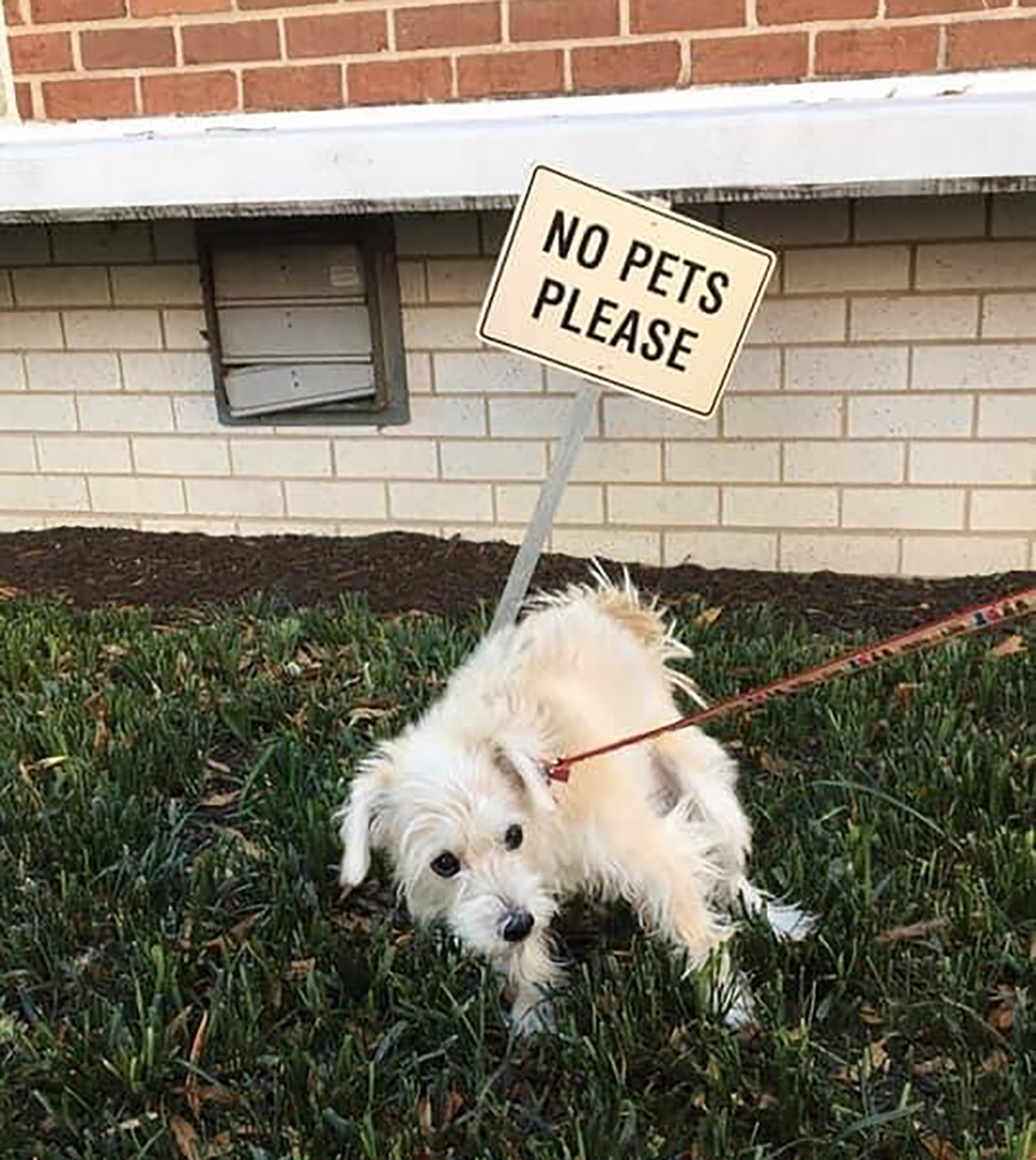 White dog tugs on lease in grass that is marked as No Pets Please