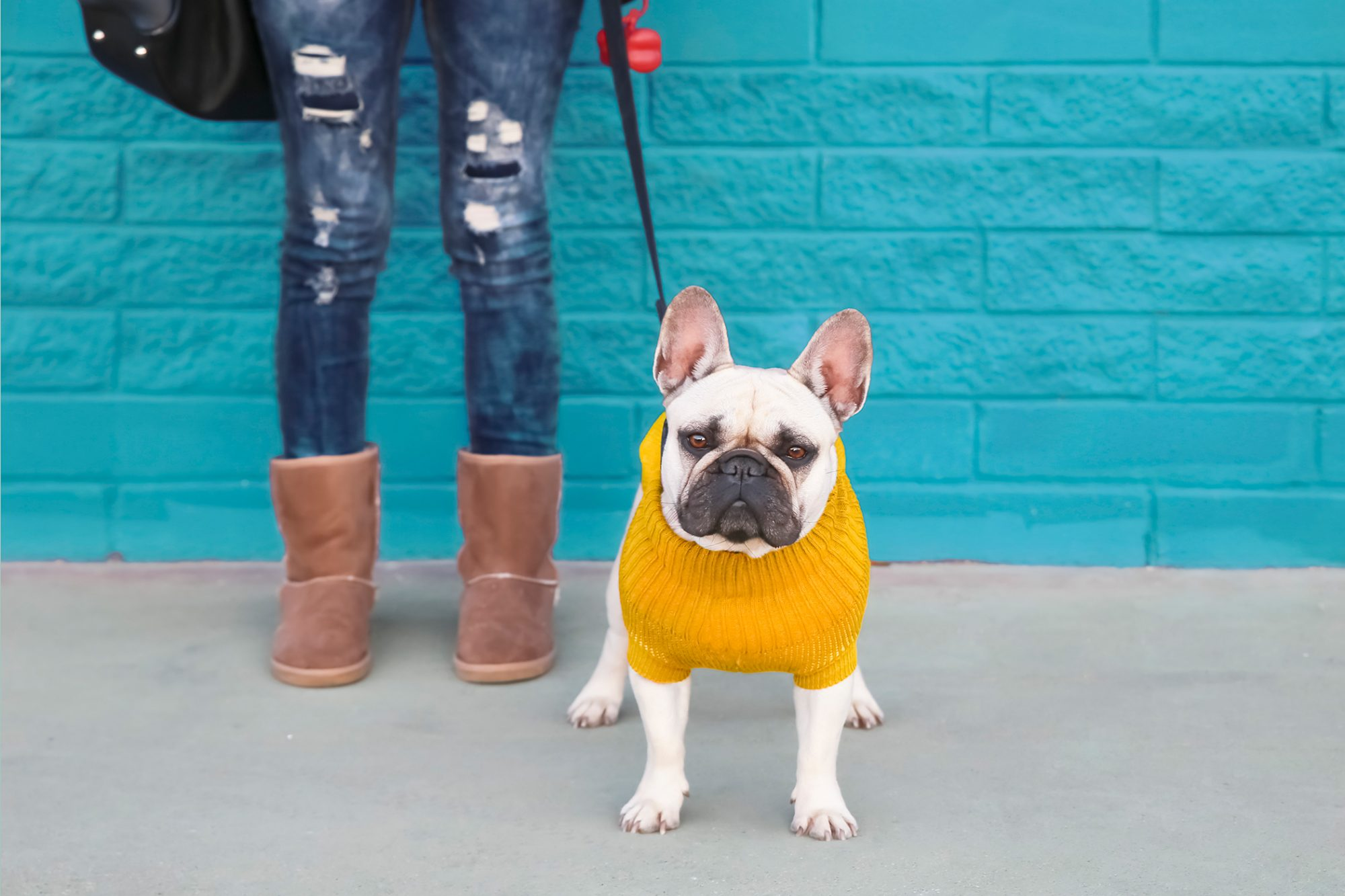 French bulldog in yellow sweater stands next to owner in front of blue brick wall