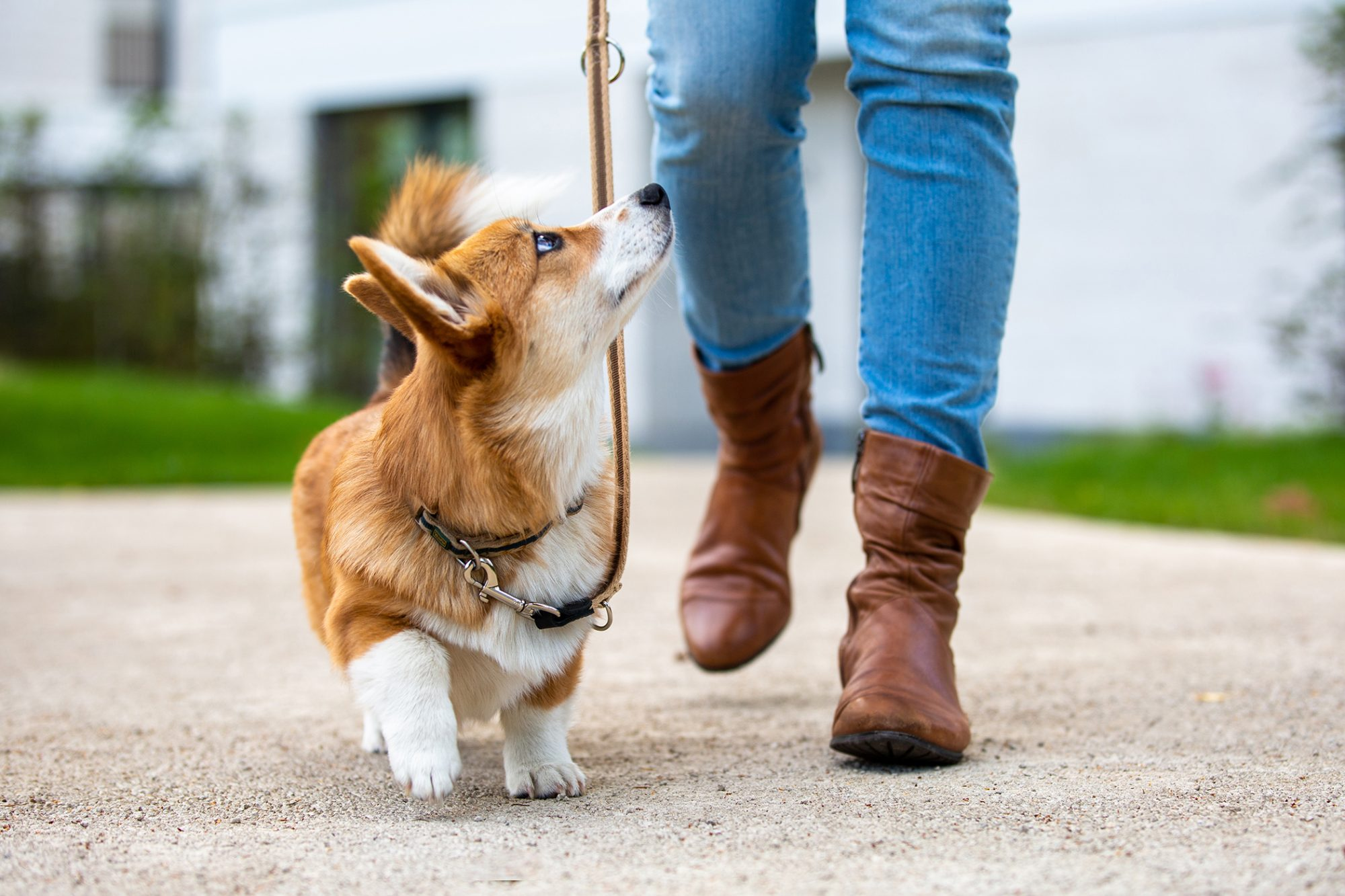Corgi puppy on leash looks up at owner while on walk