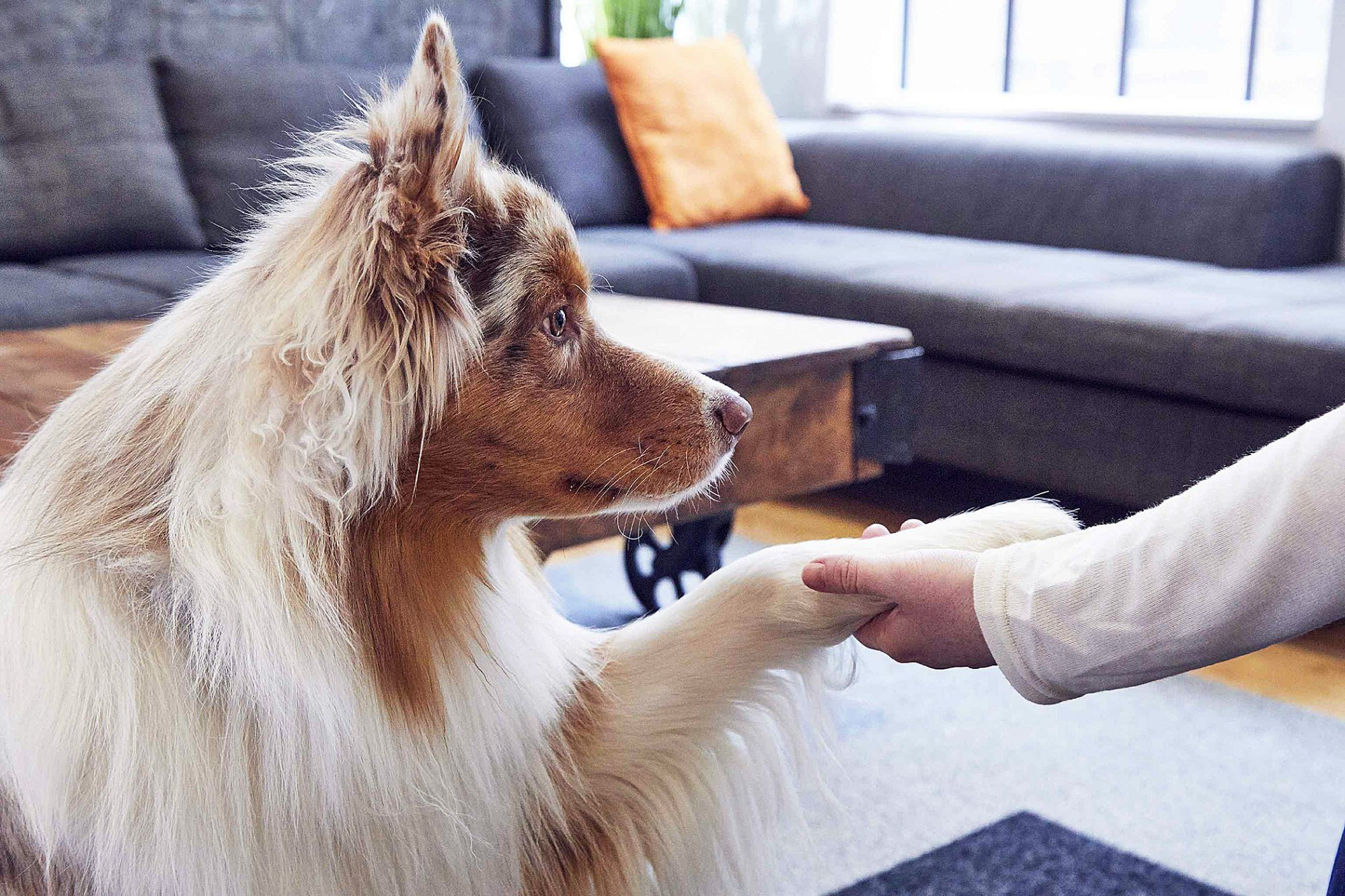 Long-haired dog shakes owner's hand in living room