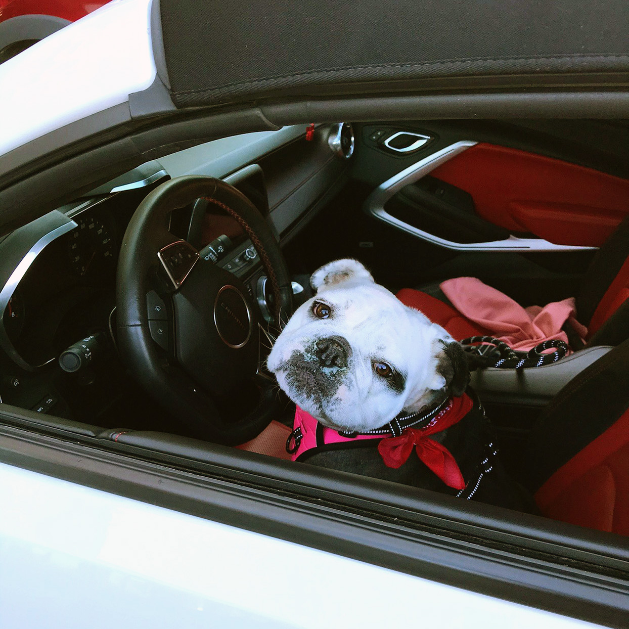 Bulldog sits in drivers seat of car