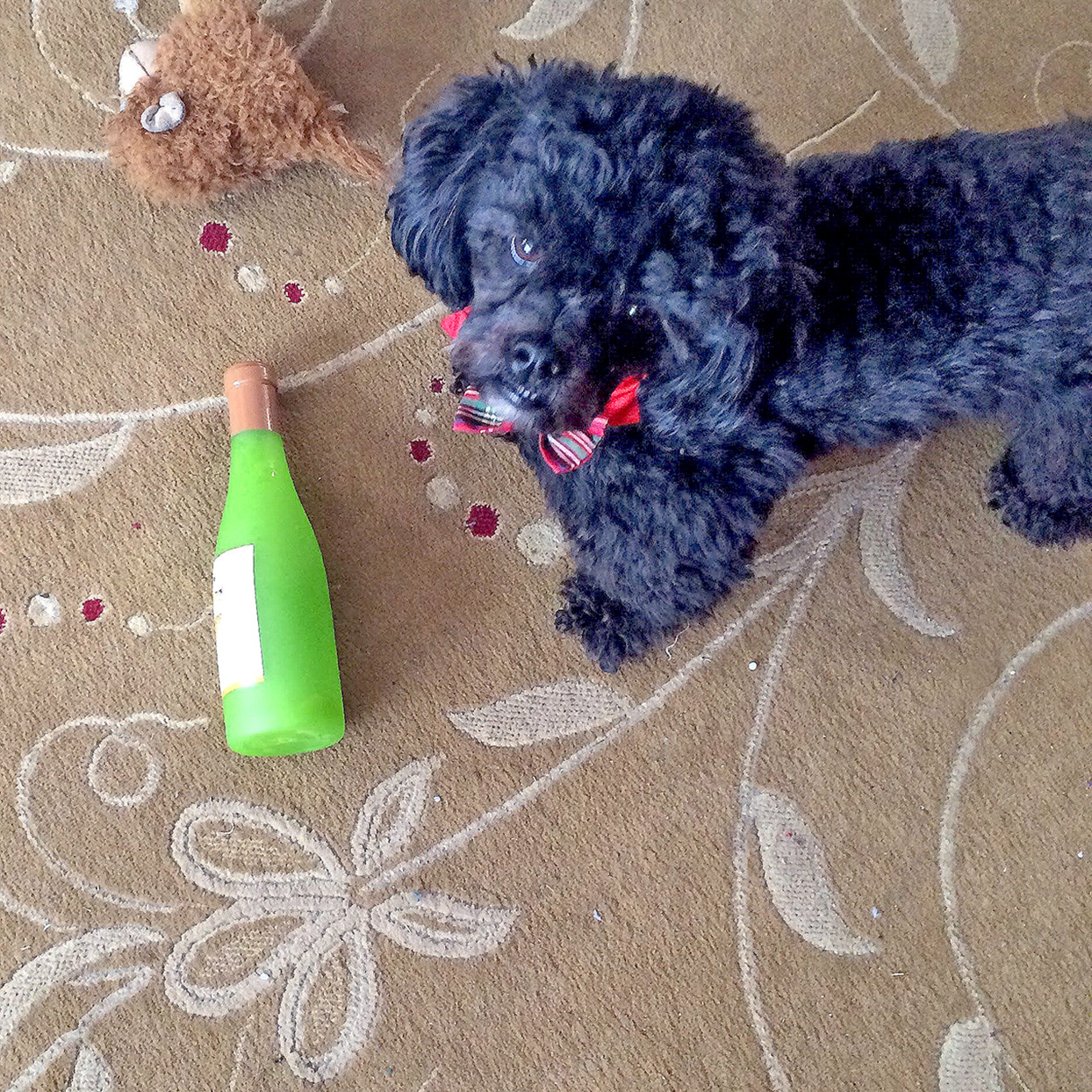 Black poodle stands next to a champagne bottle