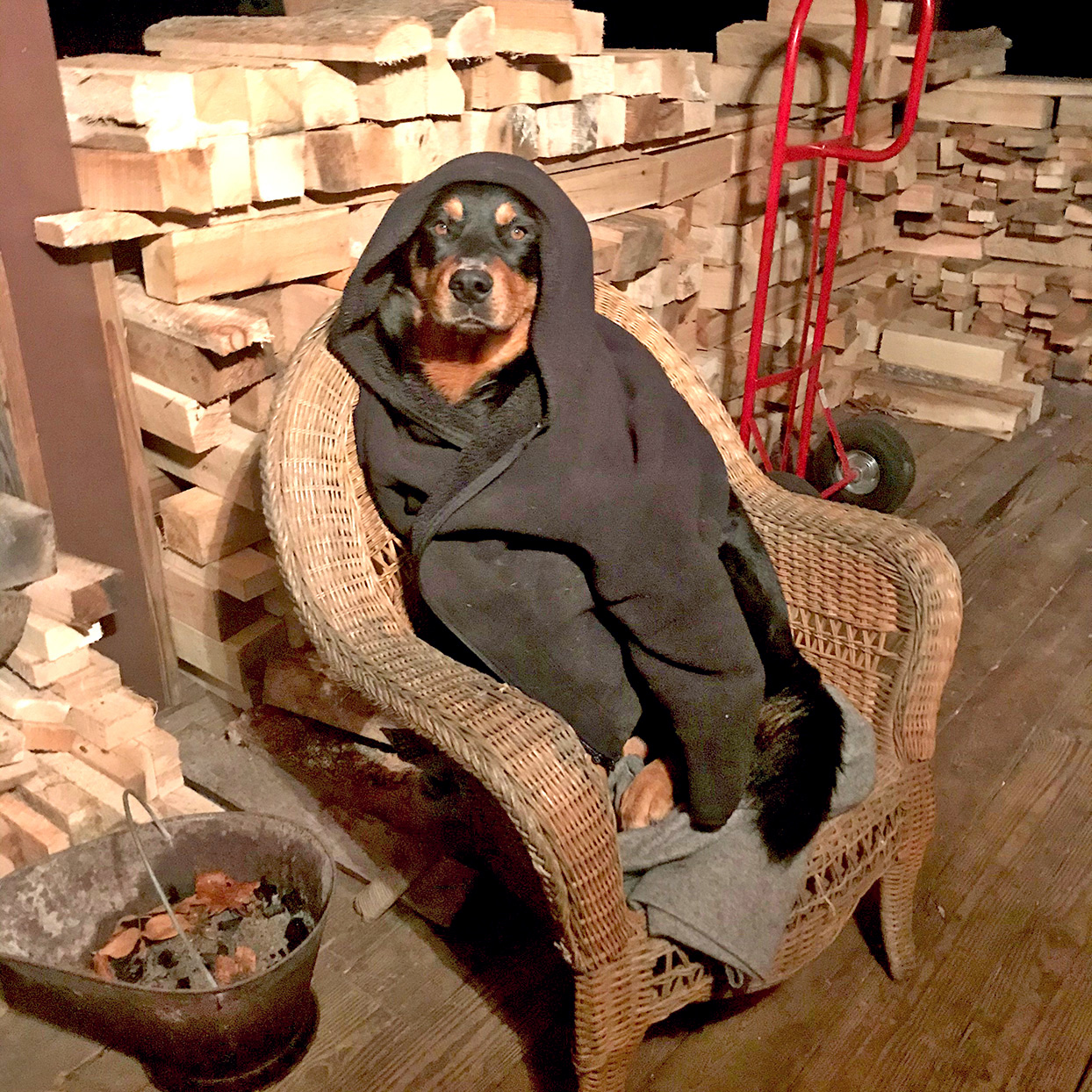Rottweiler sits in wicker chair covered in blanket