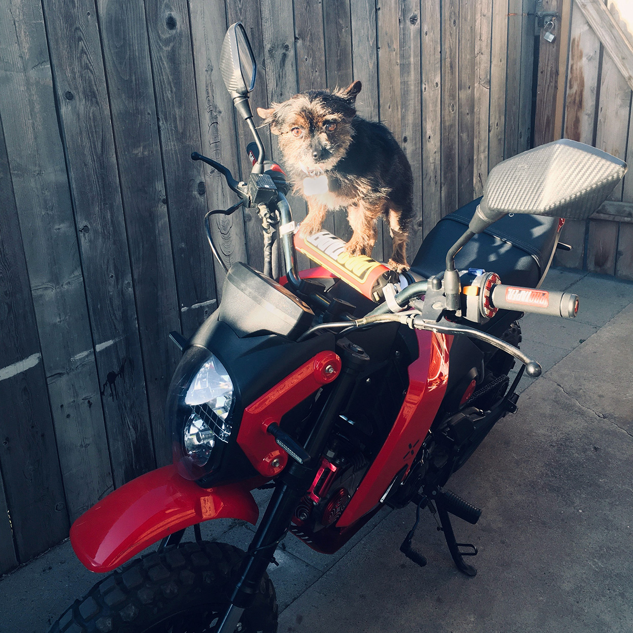 Yorkie puppy stands on motorcycle handlebars