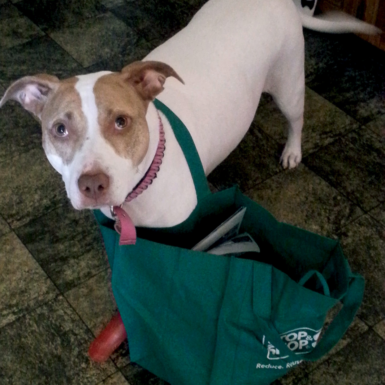 Pit mix with reusable grocery bag looped around torso