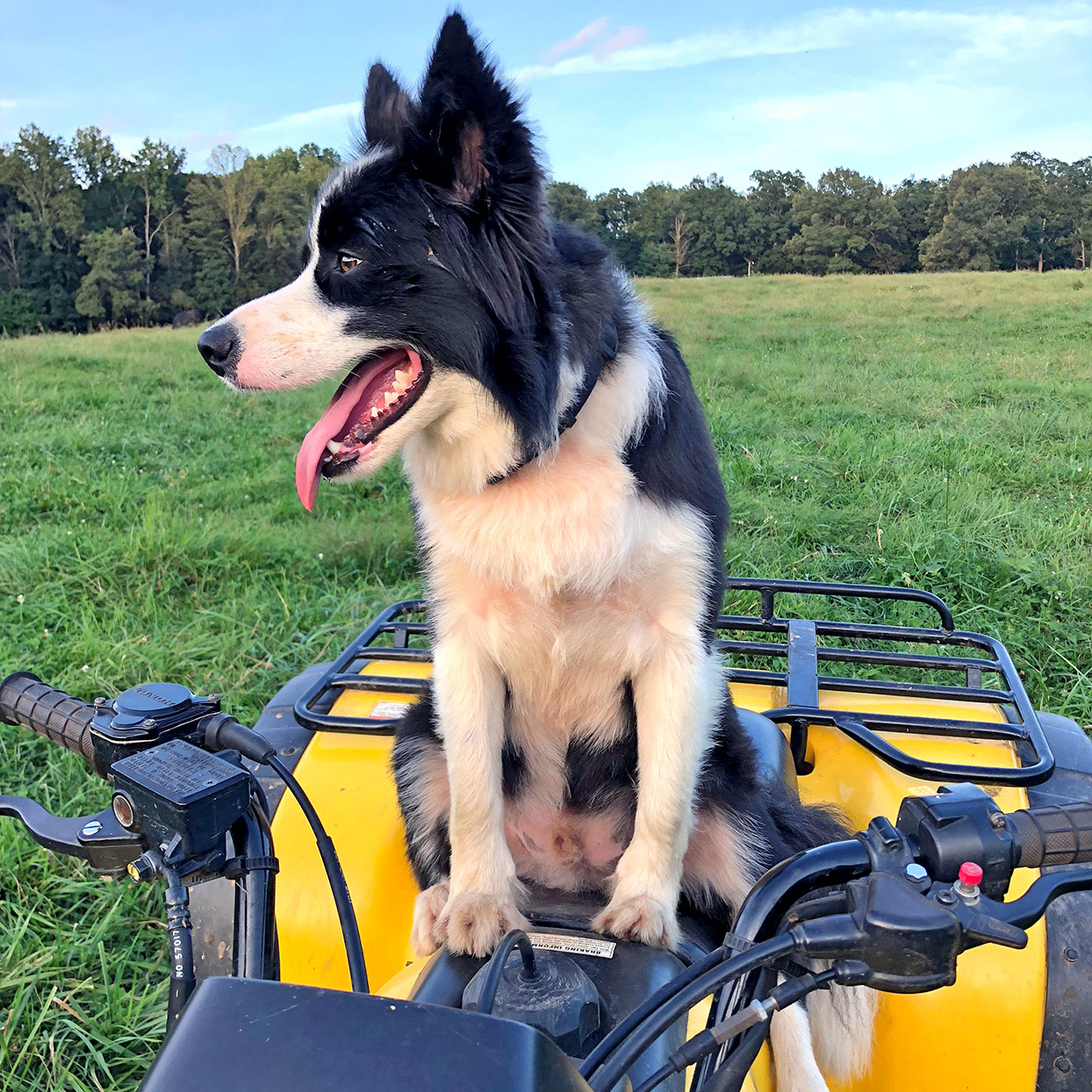 Border collie sits on ATV four-wheeler seat