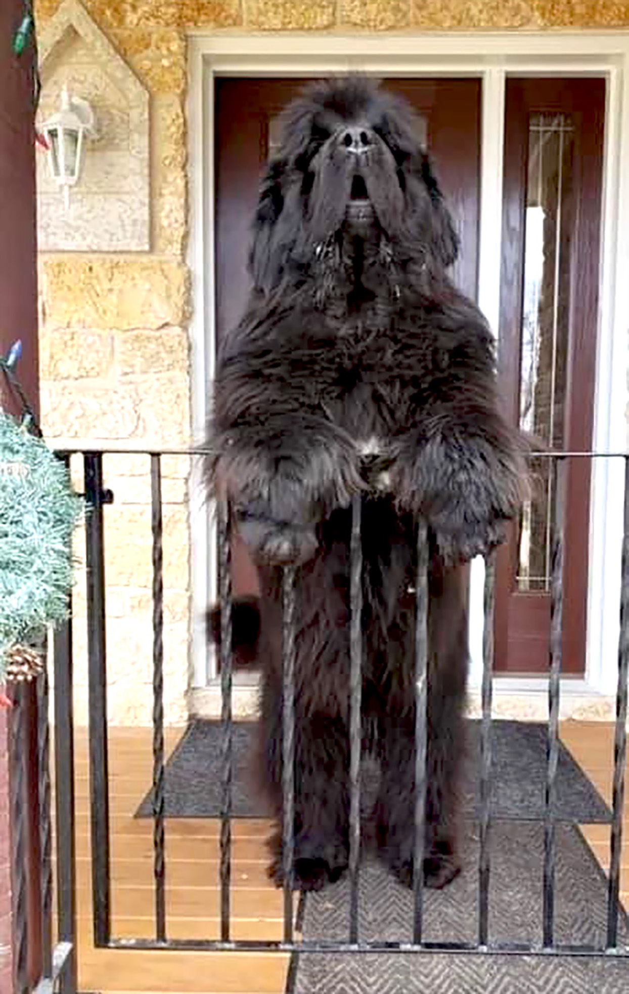 Newfoundland stands on hind legs in front of house
