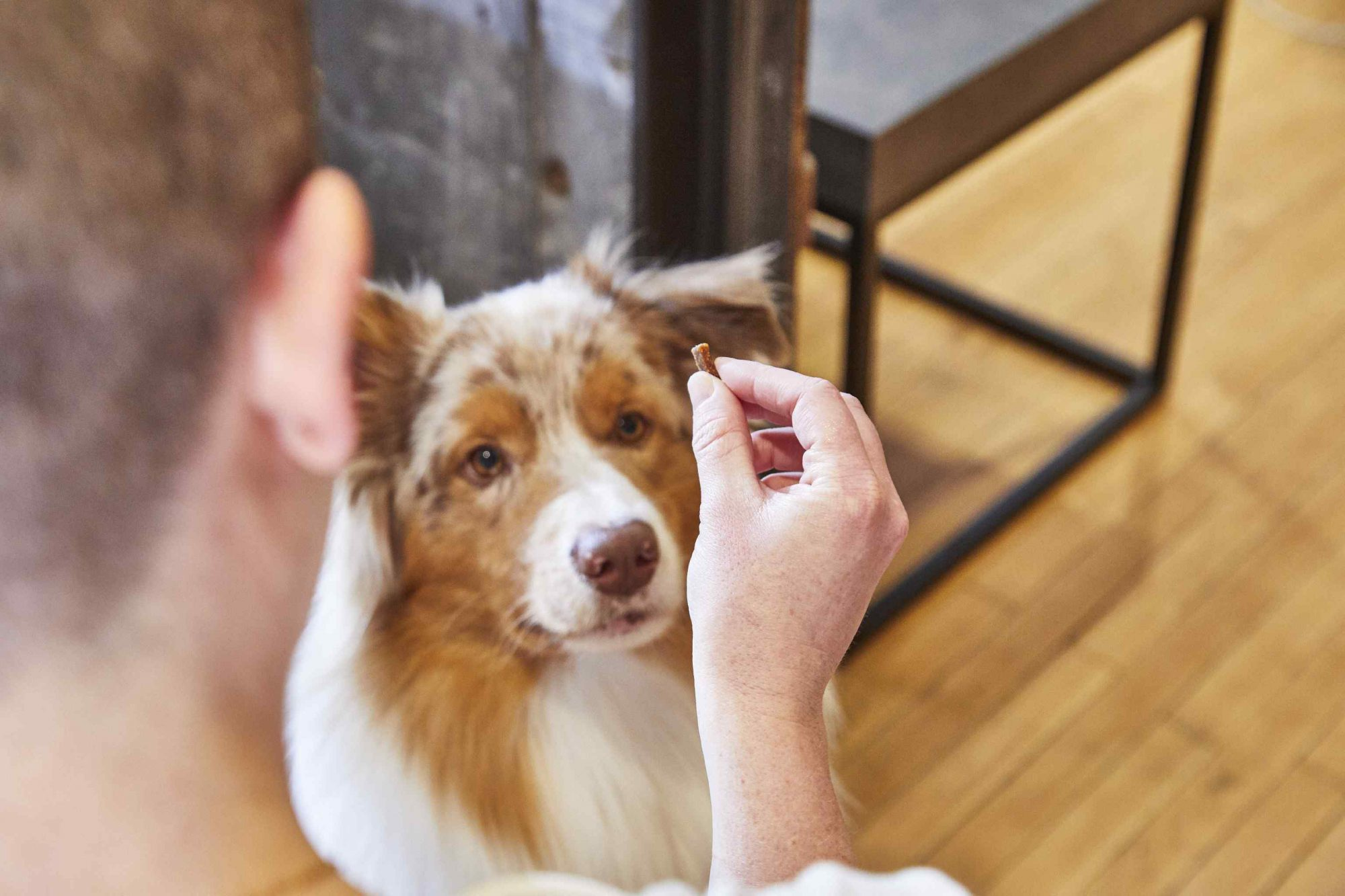 Dog looks upward at treat in owner's hand while sitting