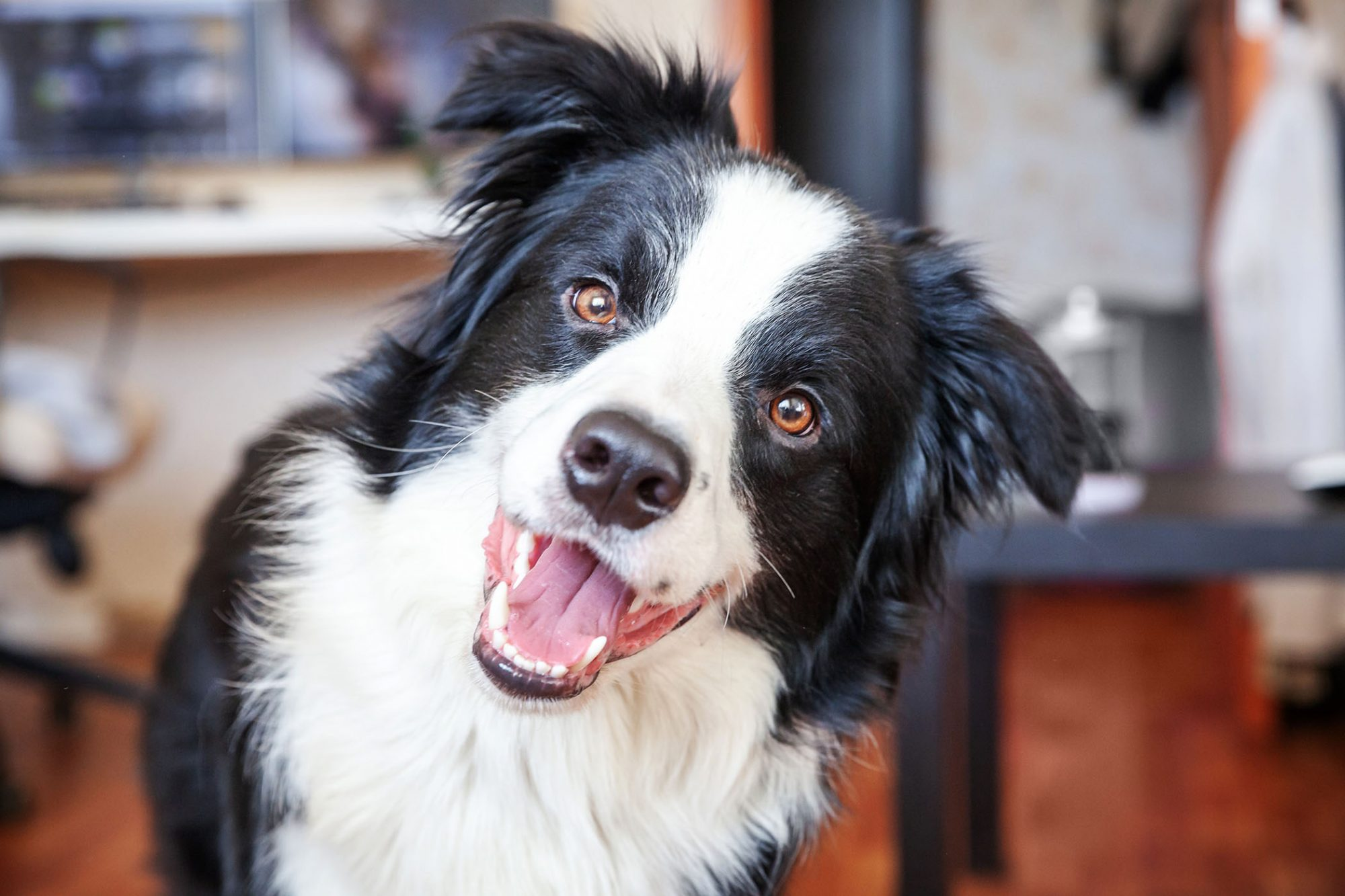 happy Border Collie smiling for camera