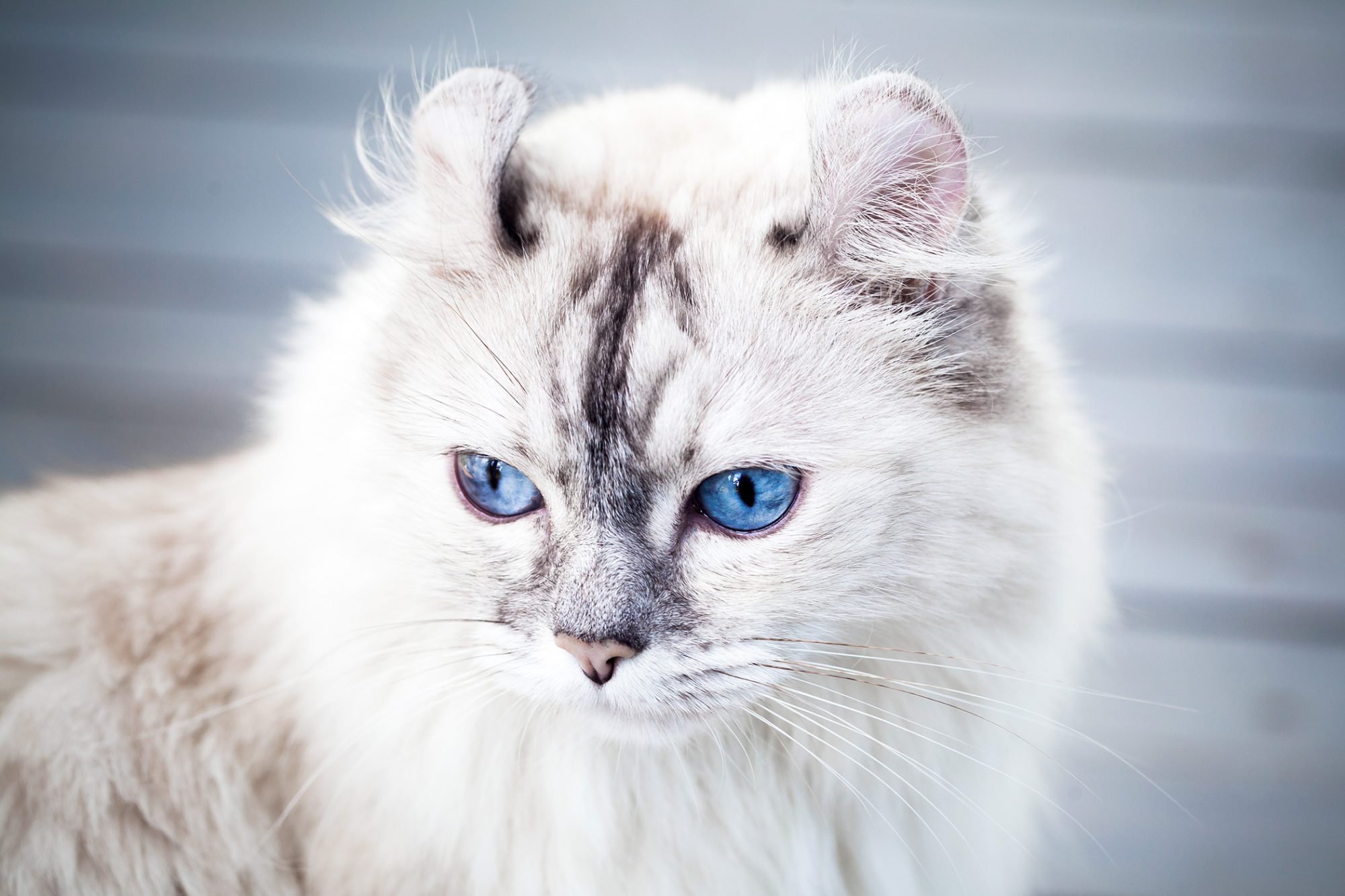 Close up portrait of American Curl cat with bright blue eyes