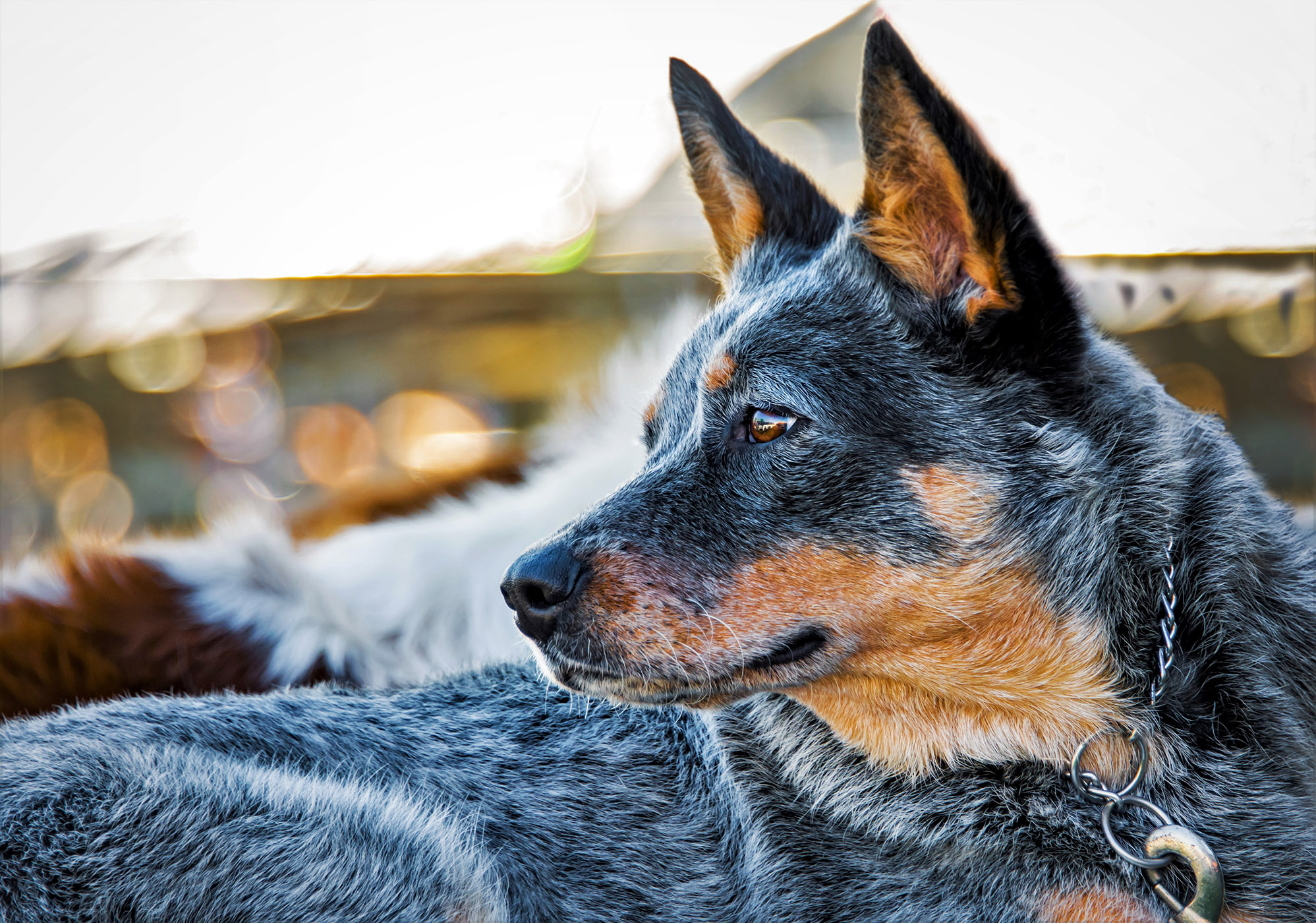 Close up portrait of Australian Cattle Dog
