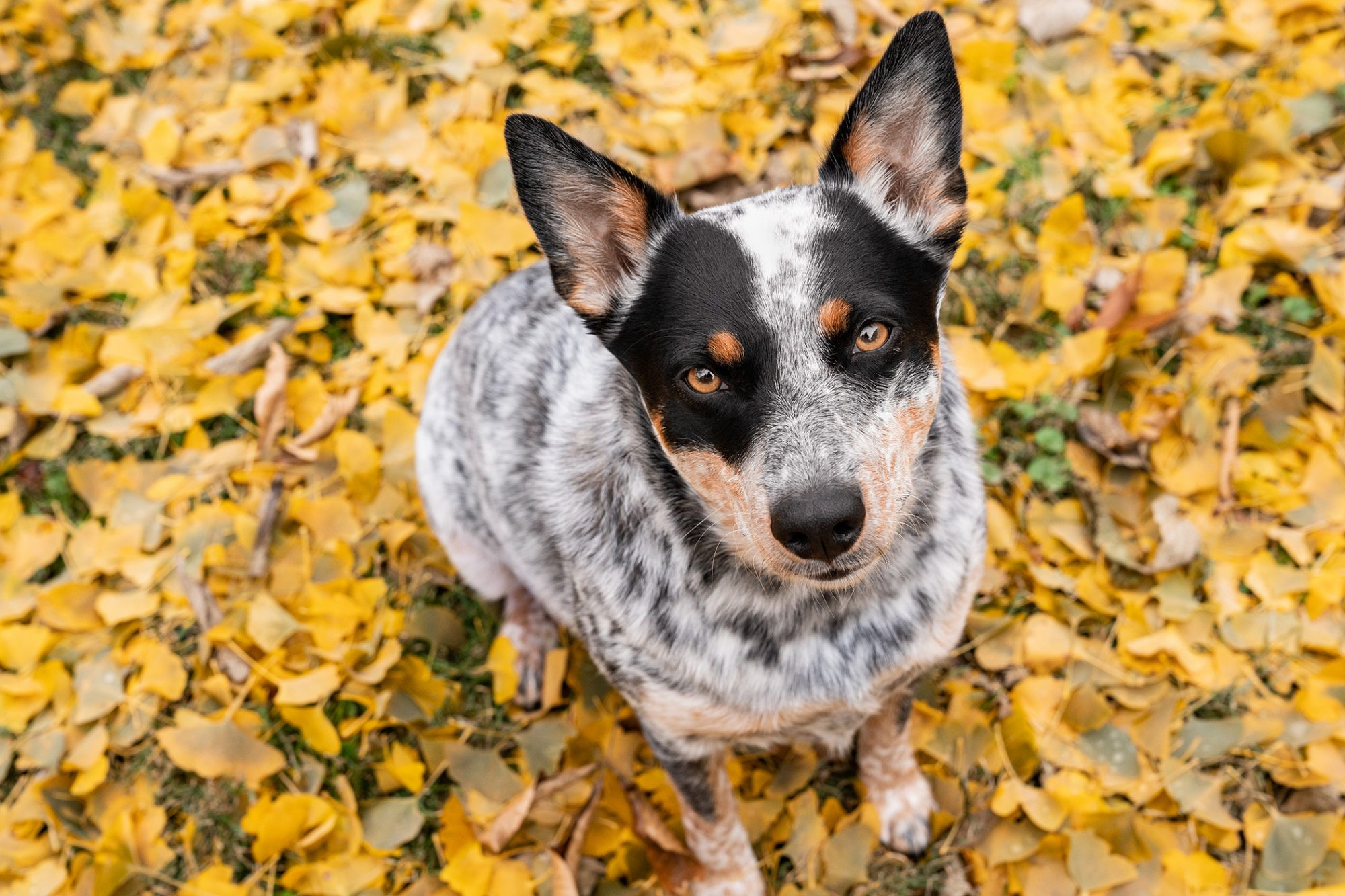 Grey Australian with fallen leaves background