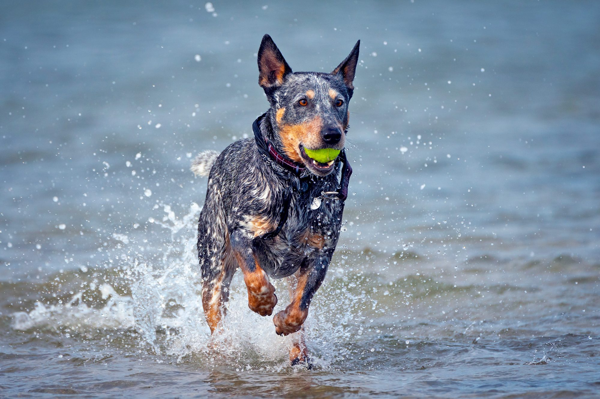 Australian Cattle Dog runs through water with tennis ball in mouth
