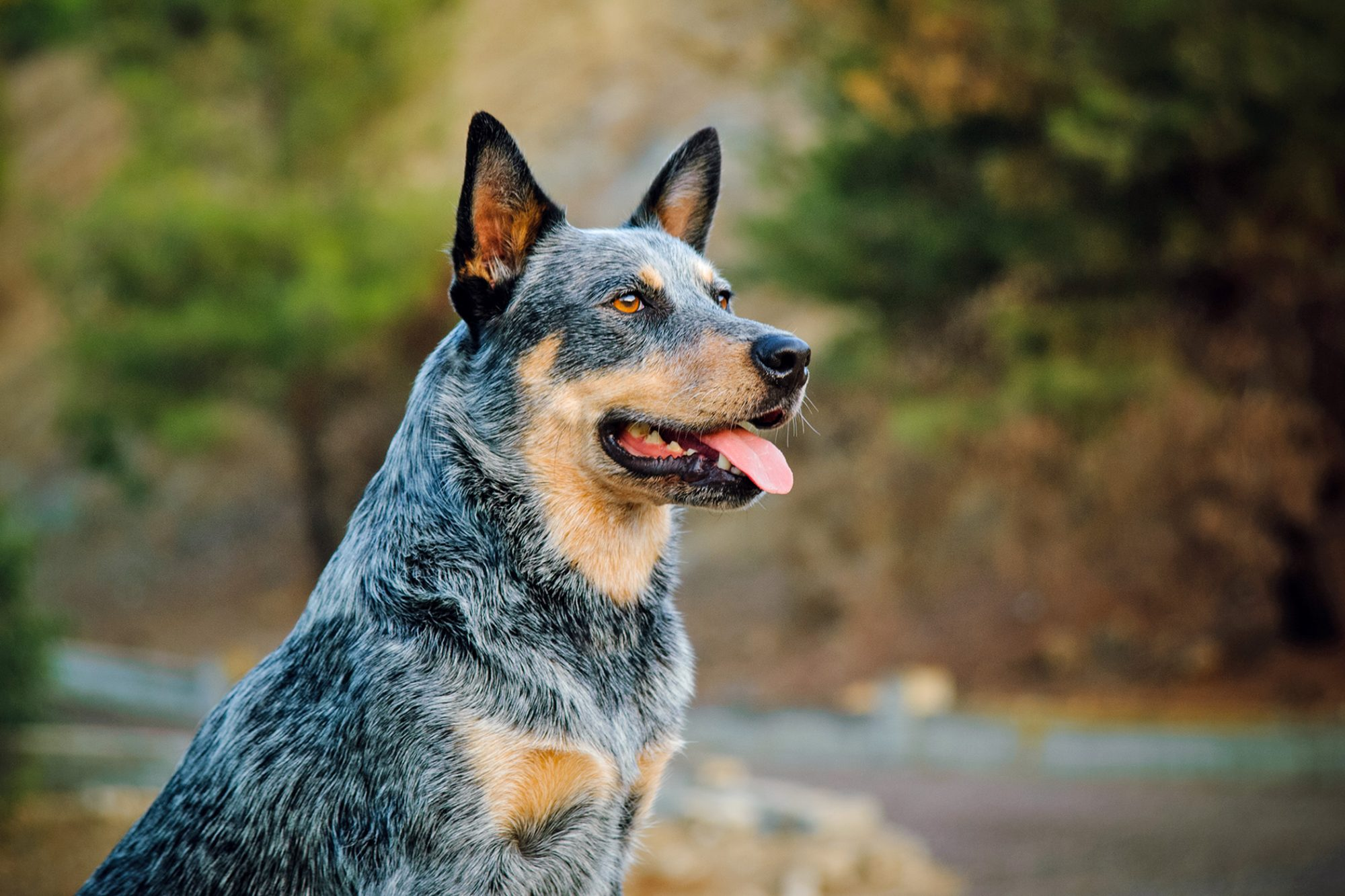 Portrait of Australian Cattle dog with forest background