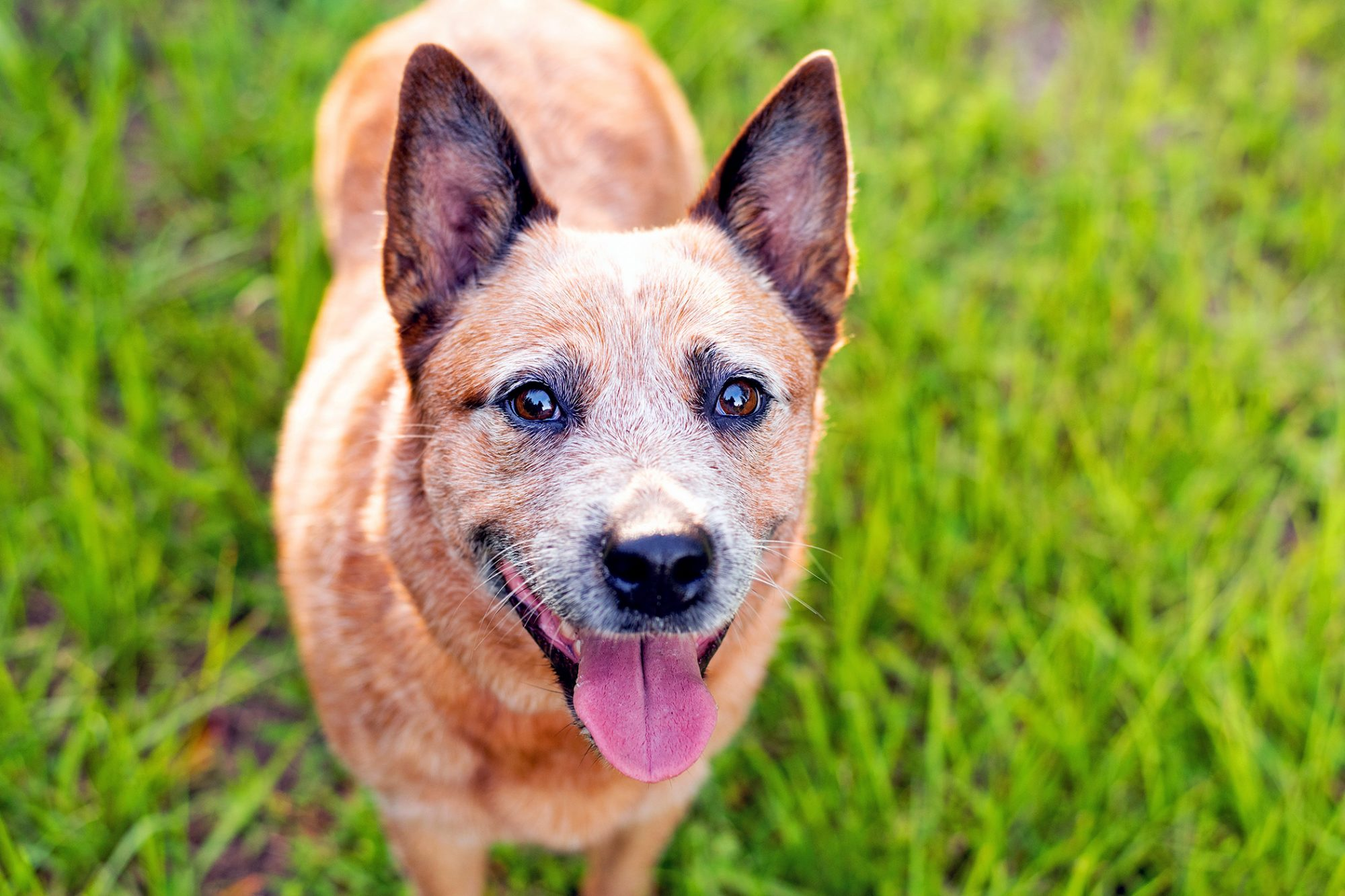 Australian Cattle Dog with grassy background