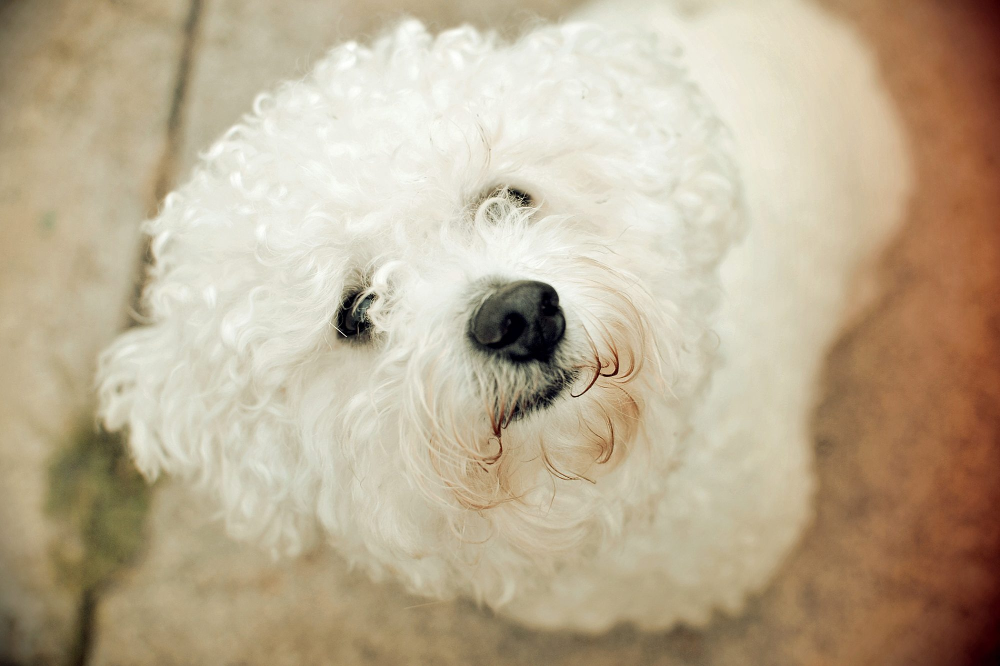 Curly haired bichon frise looks up at camera