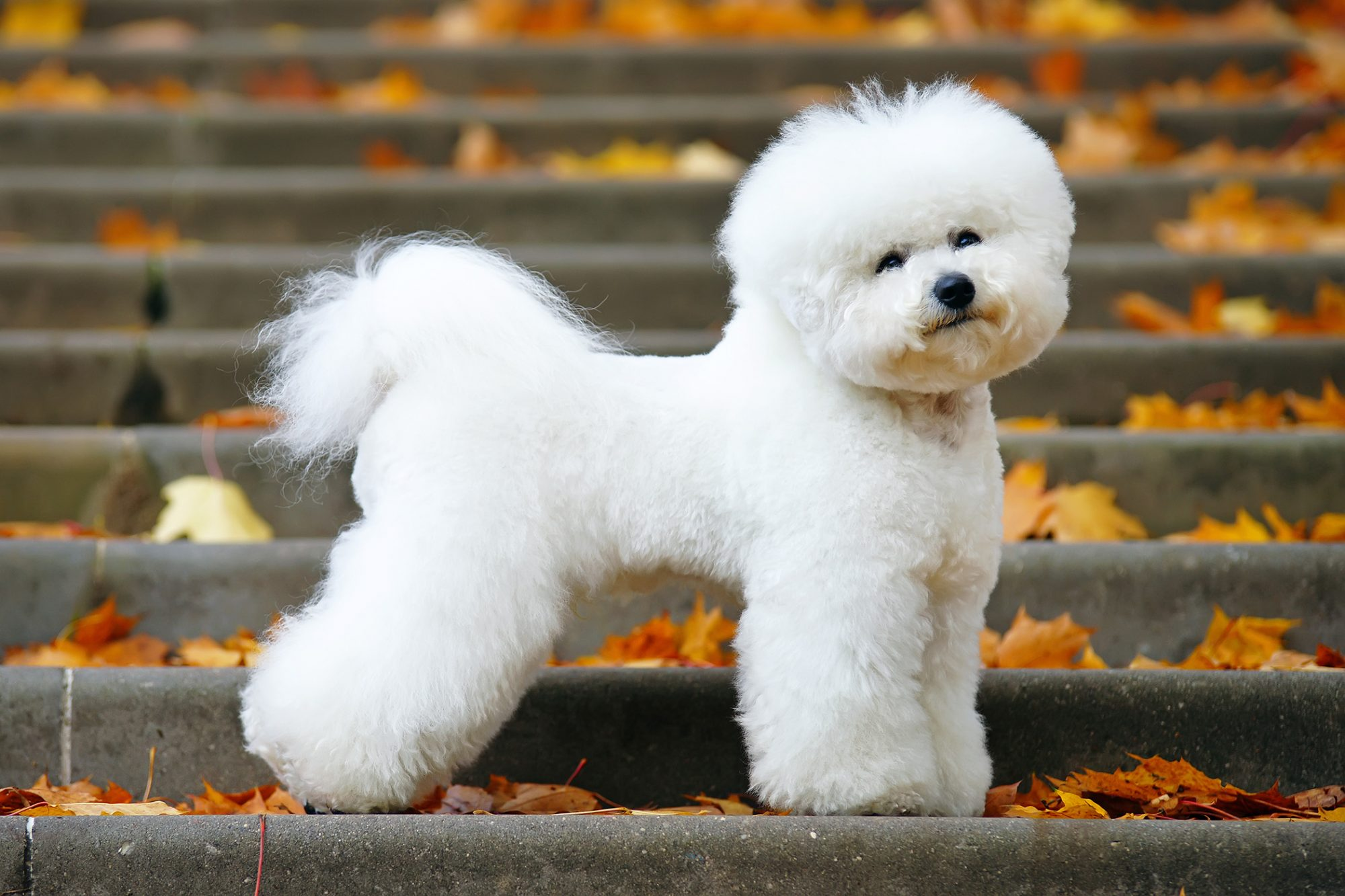 Fluffy Bichon frise stands on steps with autumn leaves