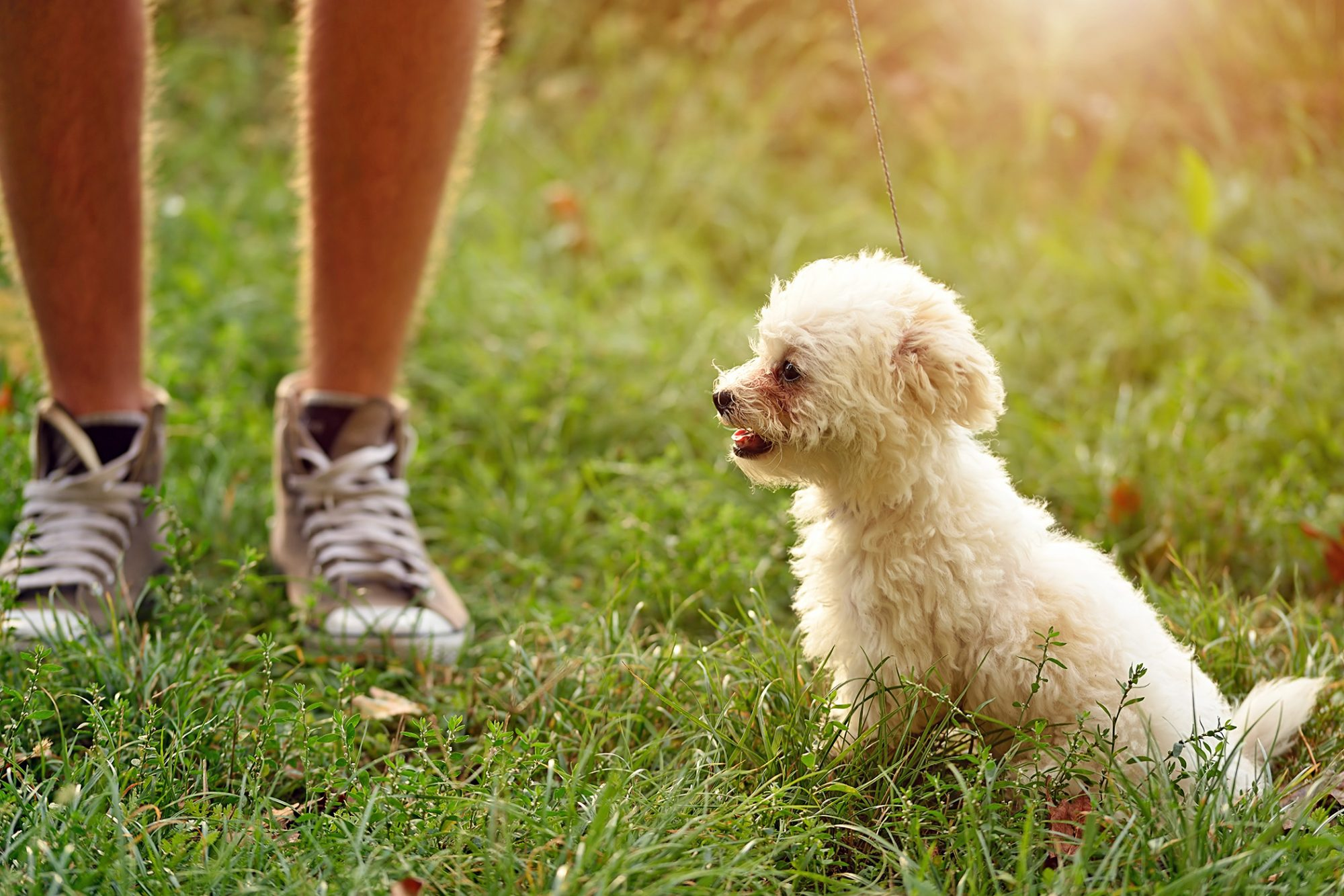 Bichon Frise dog sitting in grass next to man in sneakers