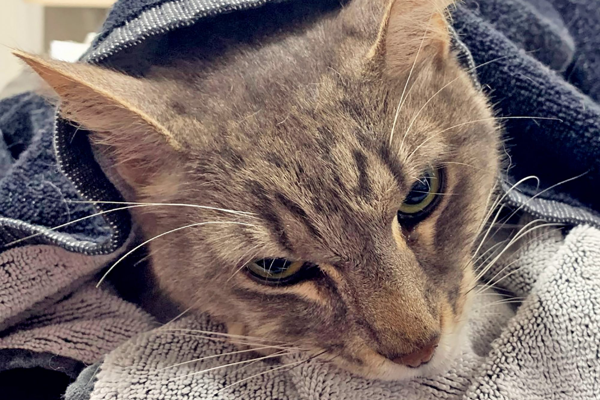 Grey cat covered by blankets