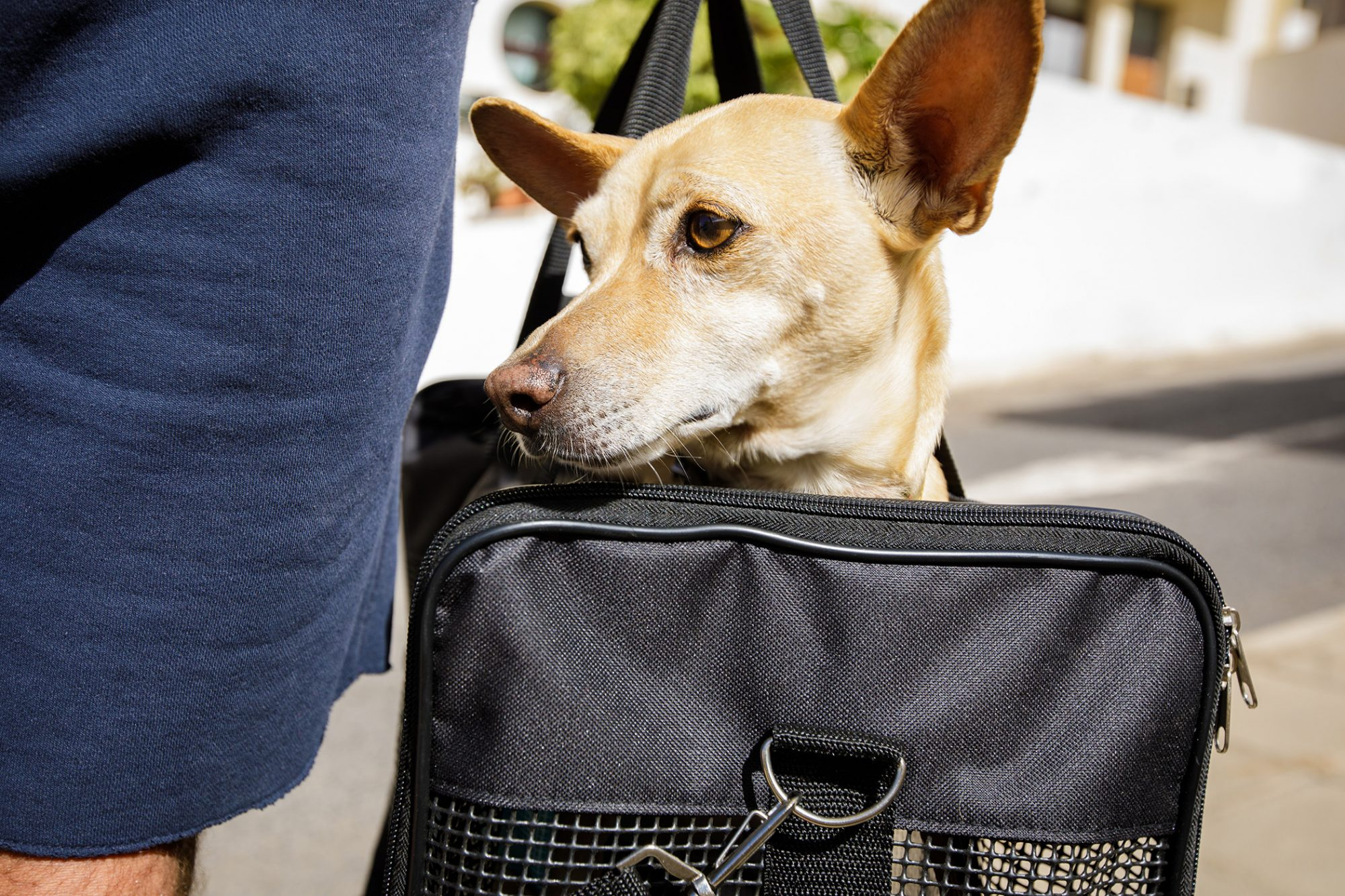 Chihuahua sticks head out of black mesh doggy carrier