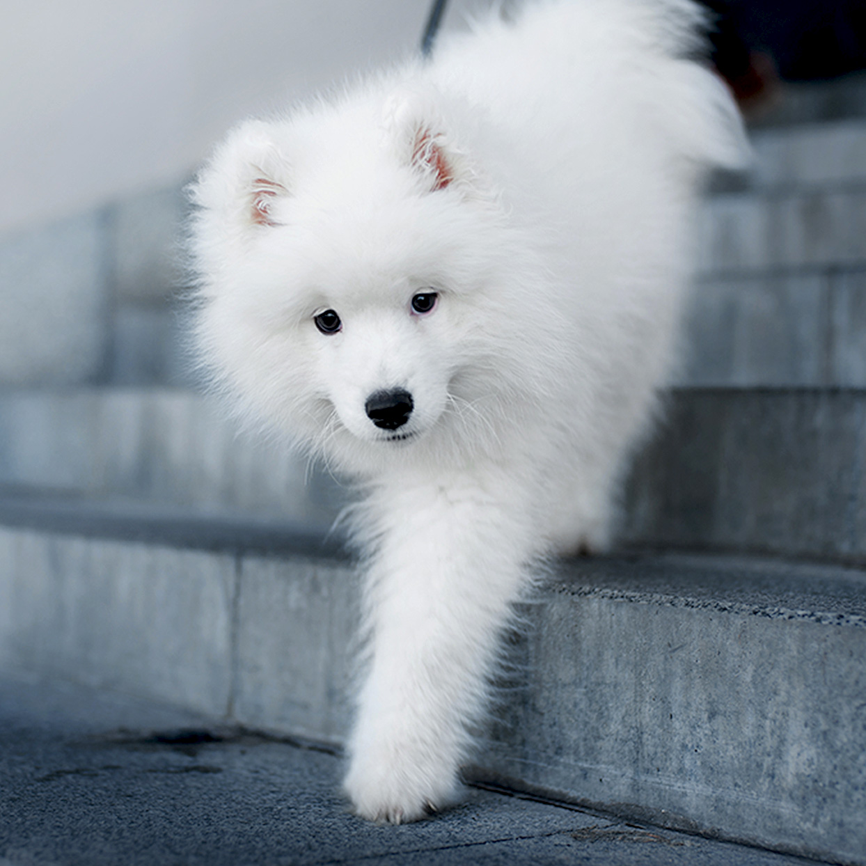 Samoyed pup descends concrete staircase