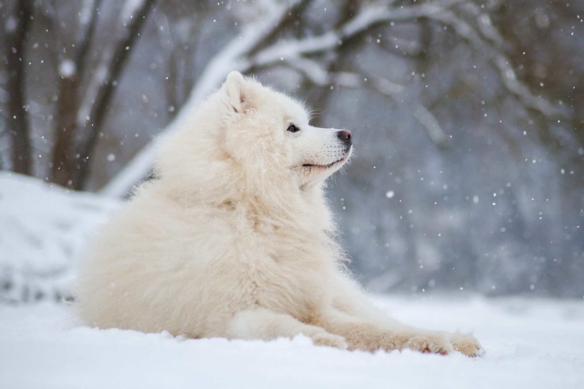 Adult Samoyed lays in snow during snowfall