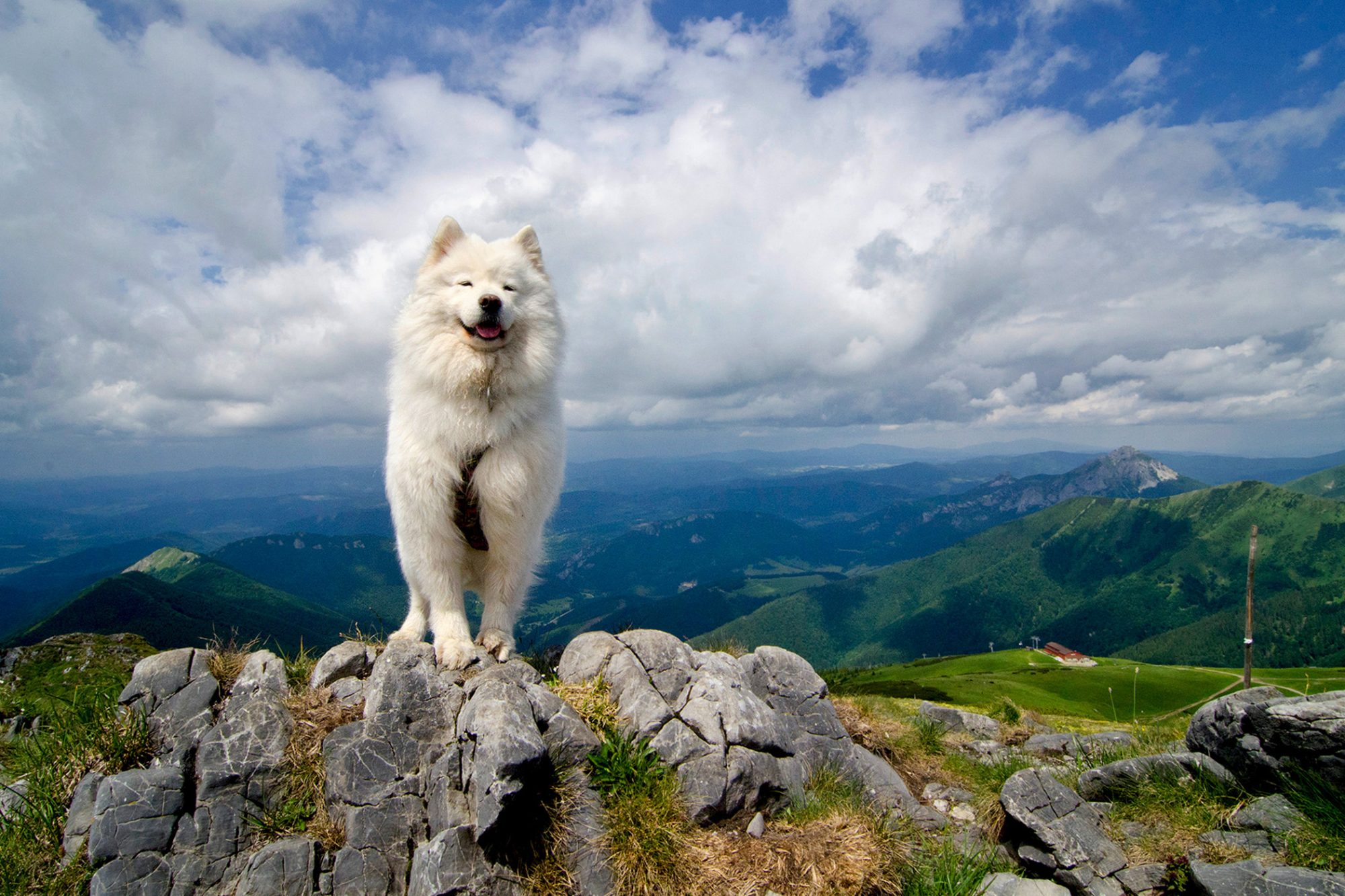Adult Samoyed dog stands on rock on top of hill