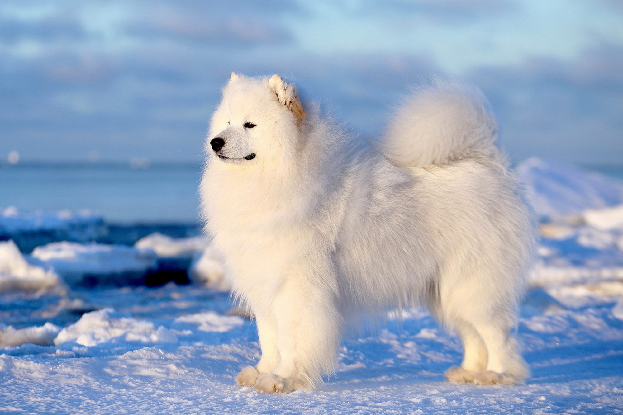 Adult samoyed dog stands on snowy ground, profile view