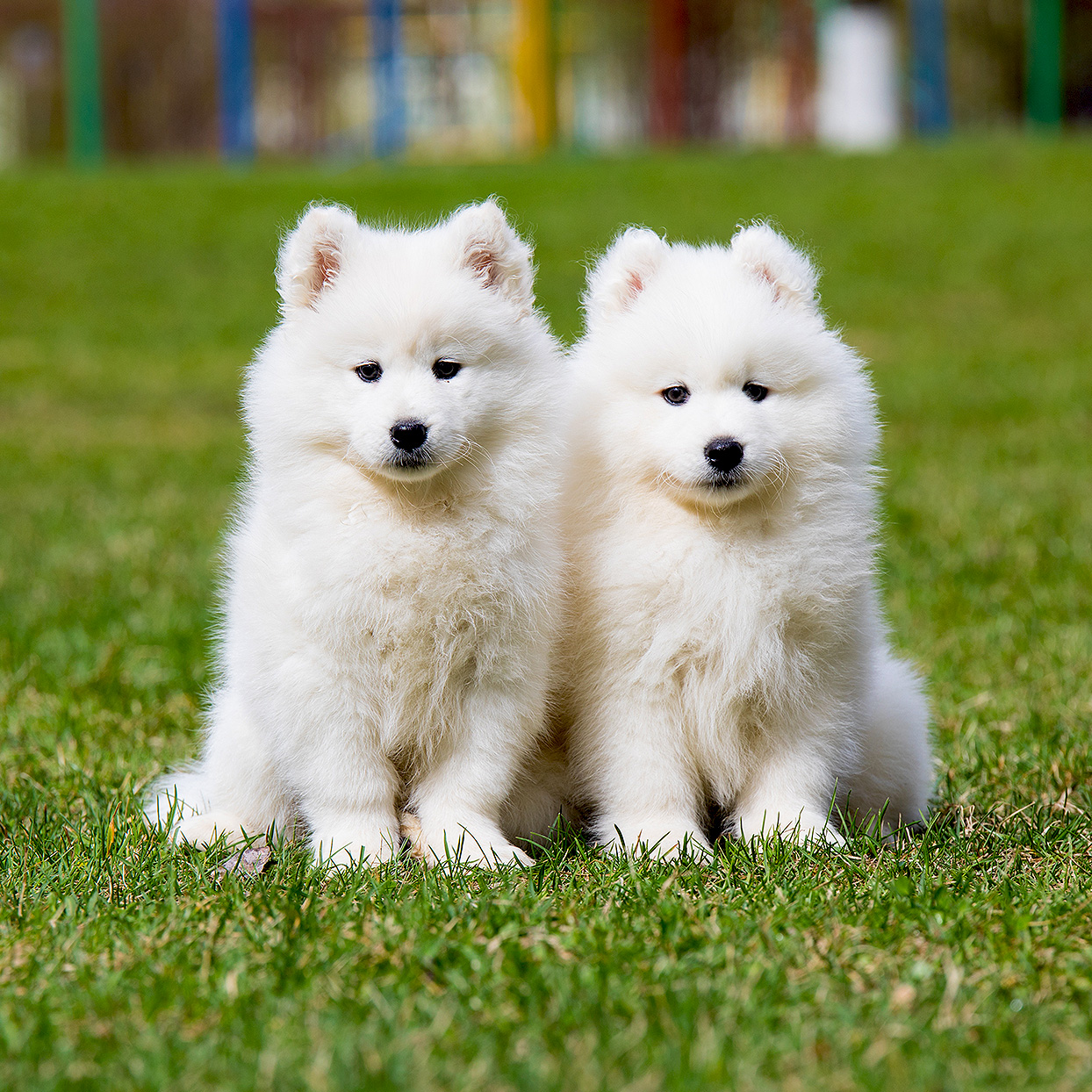 Two samoyed puppies sit next to each other in grass