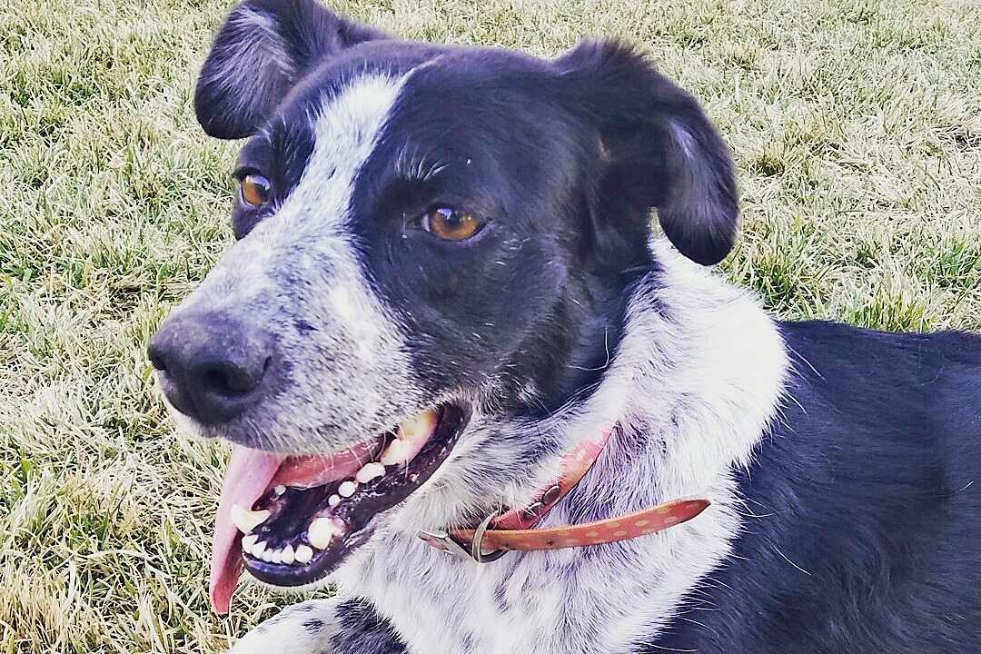 Black and white dog with polka dot collar lays on grass