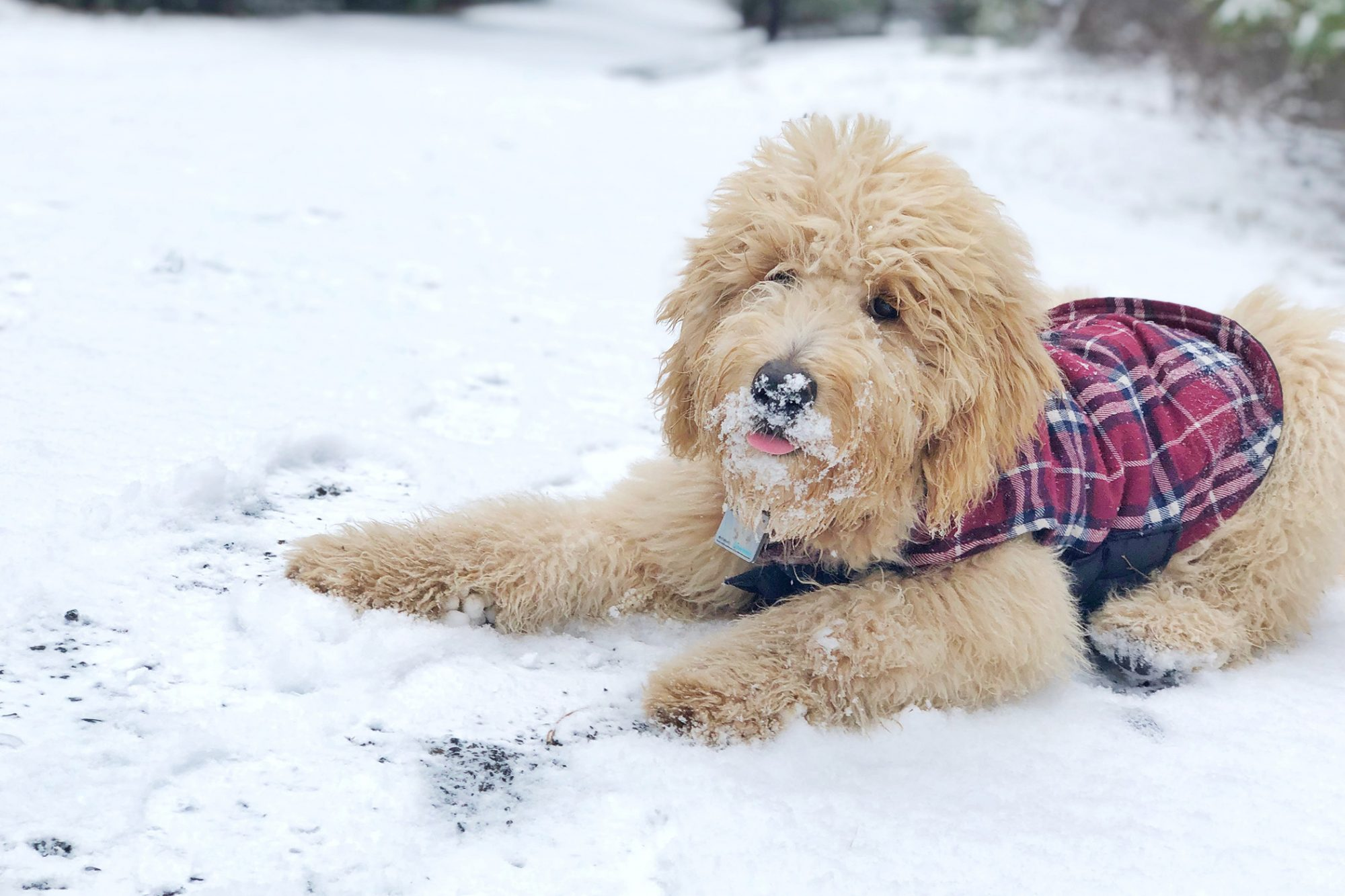 Picture of fulffy strawberry blonde dog in plaid vest laying in snow